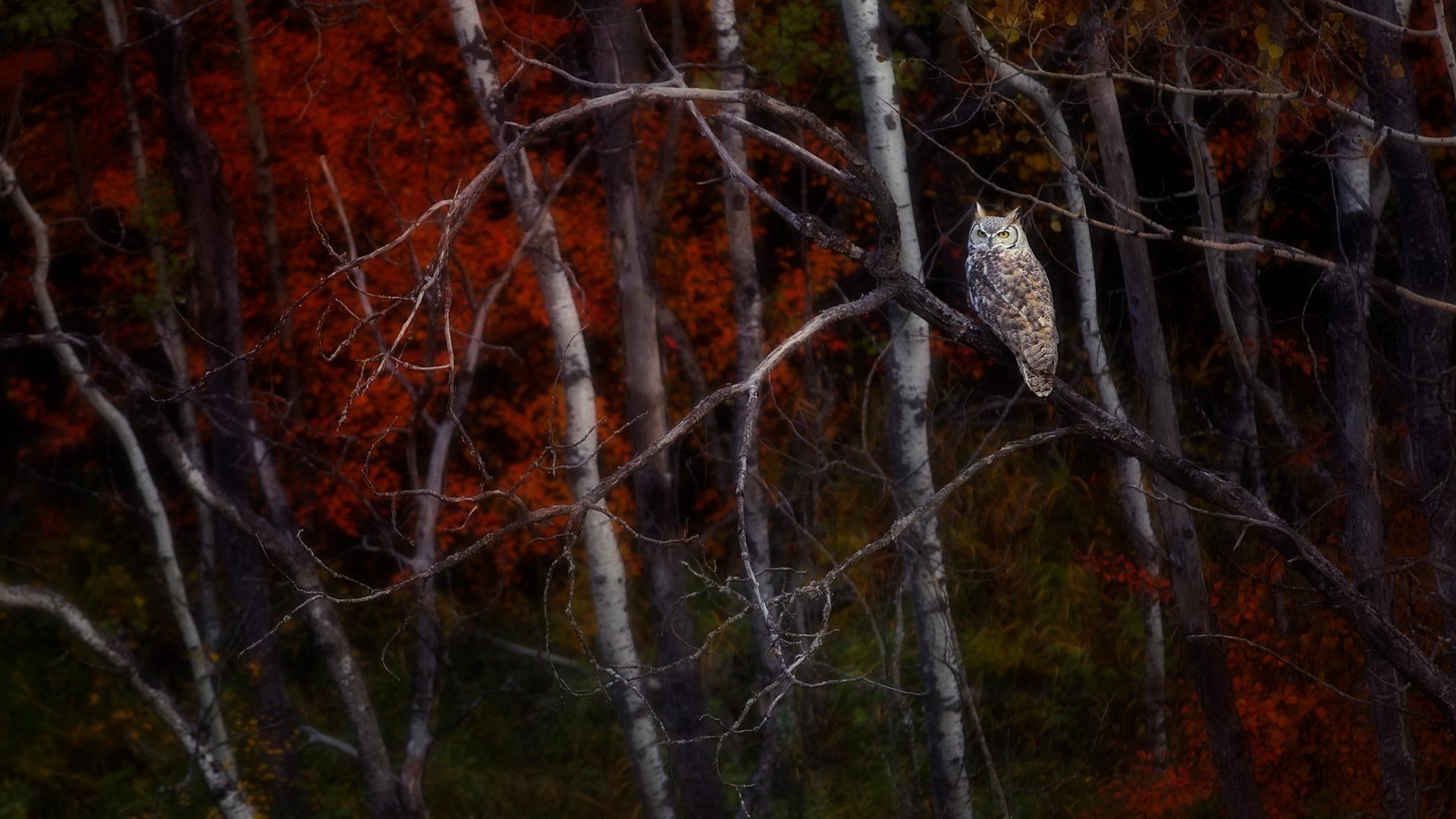 一只坐在白杨树上的大雕鸮