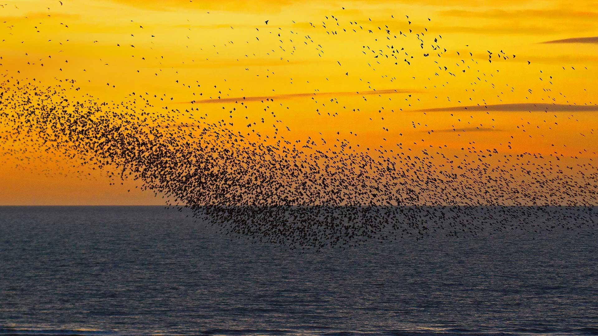 夕阳下的椋鸟椋鸟