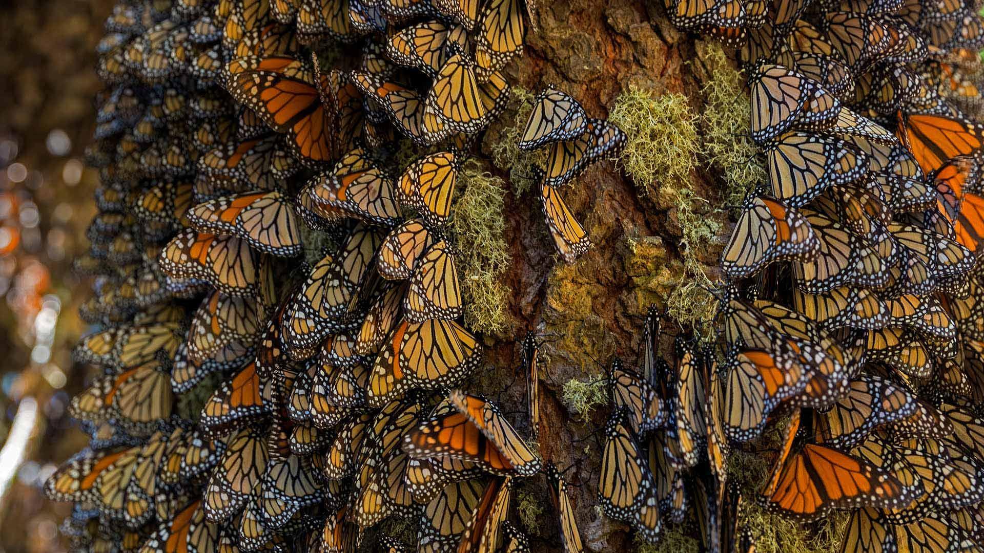 在米却肯州越冬的帝王蝶帝王蝶