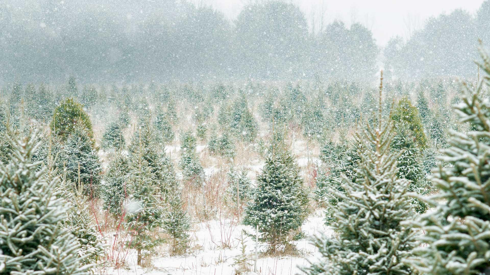 安大略省的圣诞树农场圣诞树农场