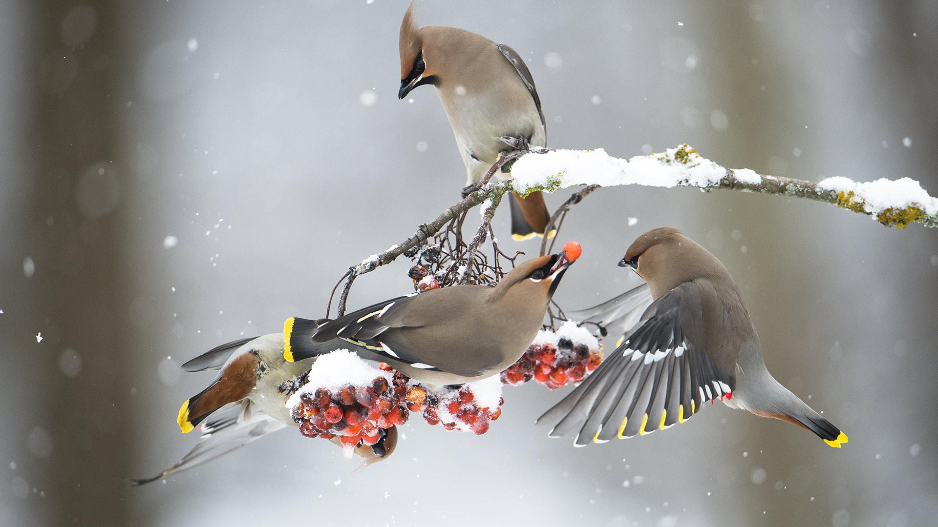 正在吃花楸果实的太平鸟 太平鸟