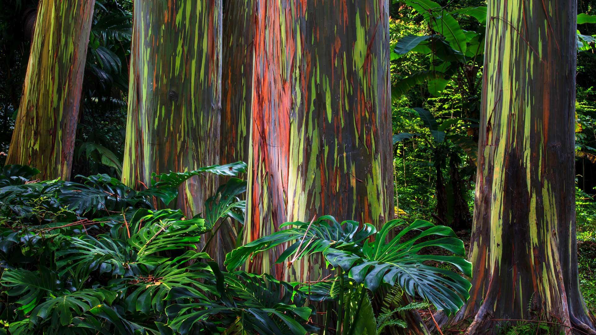 哈纳公路沿线的彩虹桉树彩虹桉树