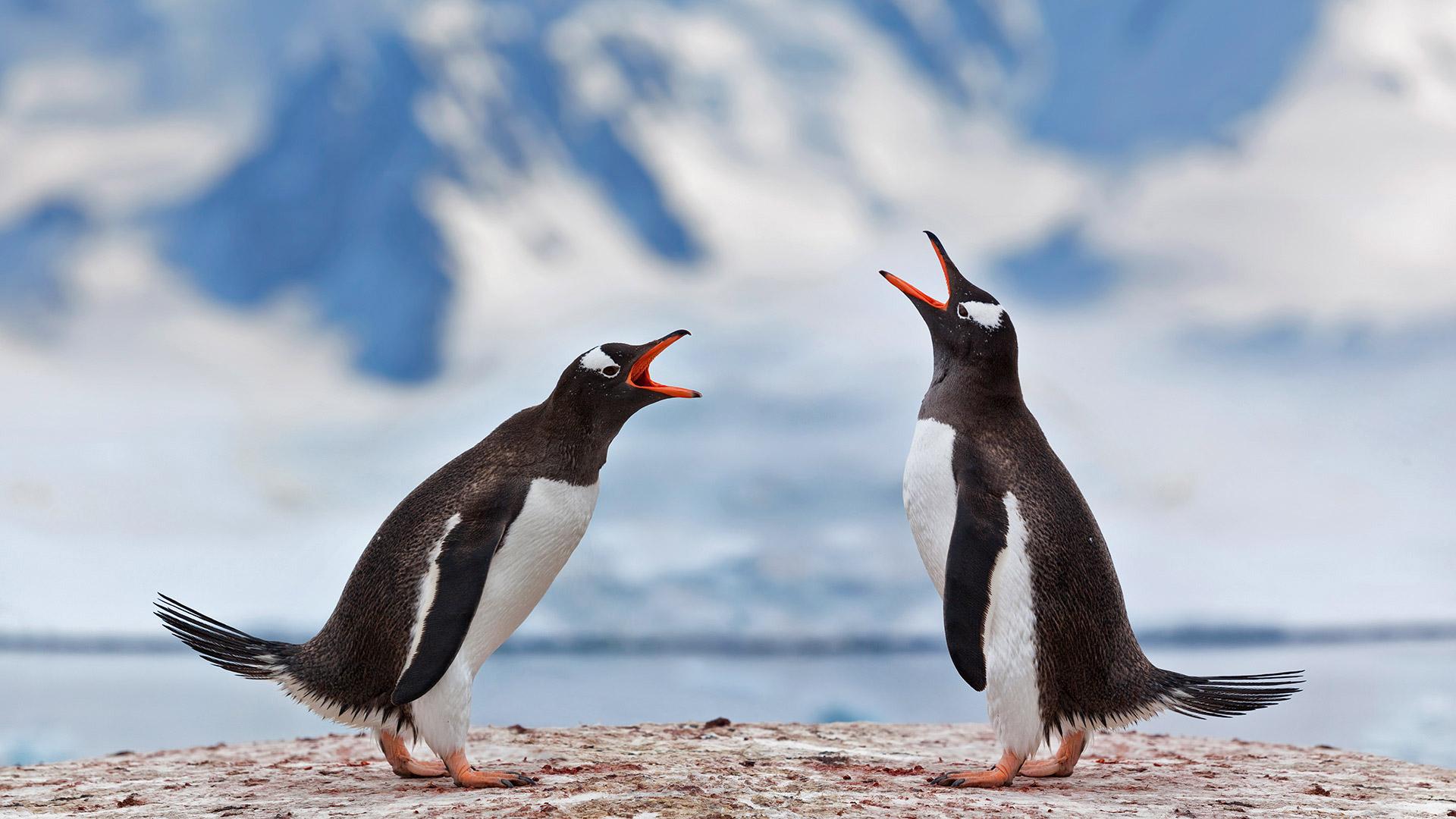 正在宣泄不满的两只巴布亚企鹅巴布亚企鹅