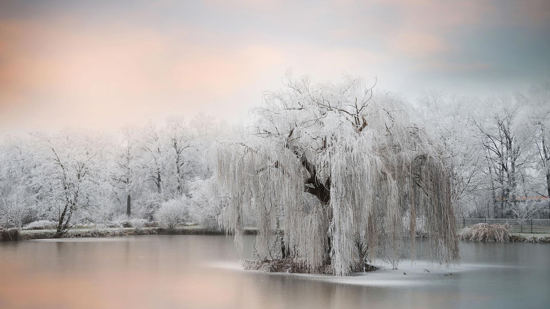池塘边结了冰的树 树