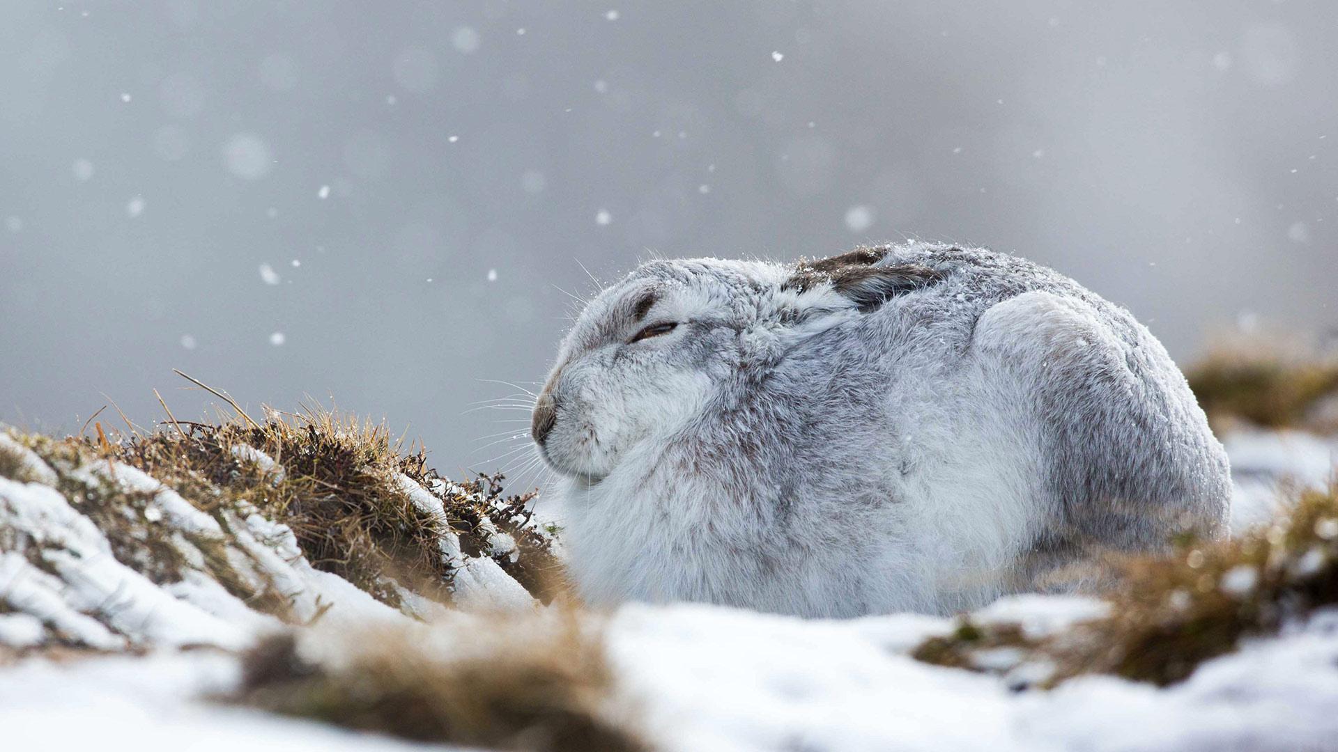 一只在暴风雪中蜷缩着的雪兔雪兔