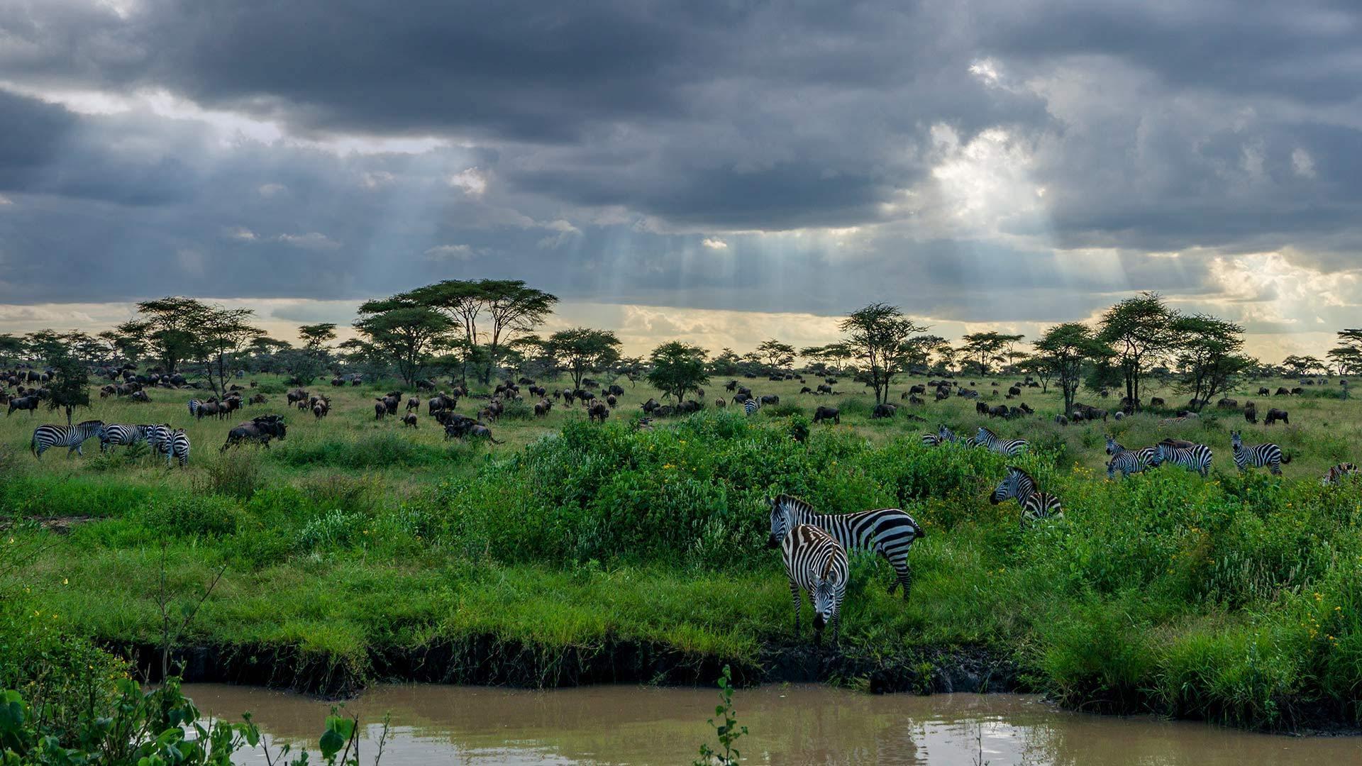 坦桑尼亚塞伦盖蒂国家公园的斑马和角马斑马和角马