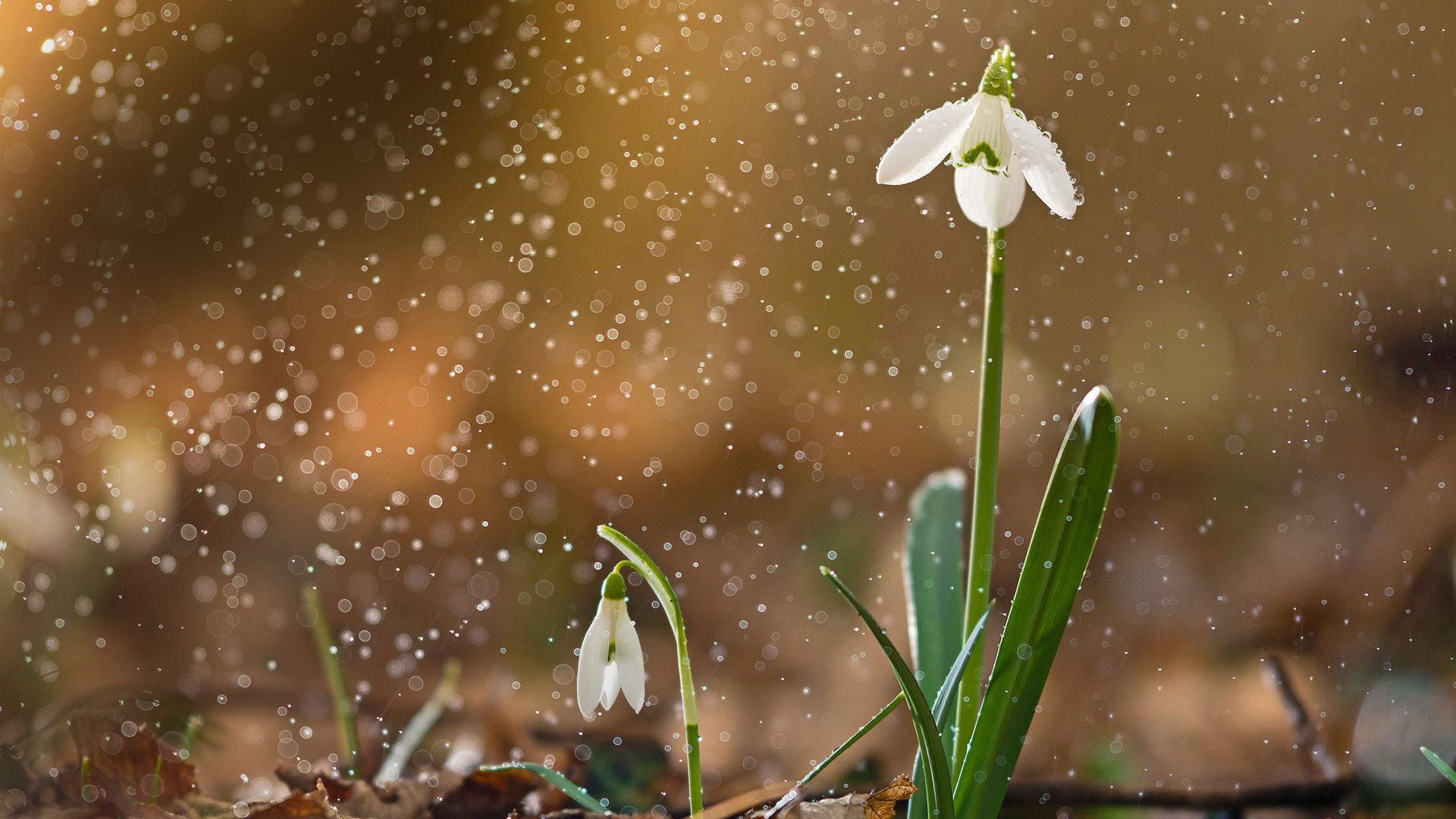 一朵盛开的雪花莲雪花莲