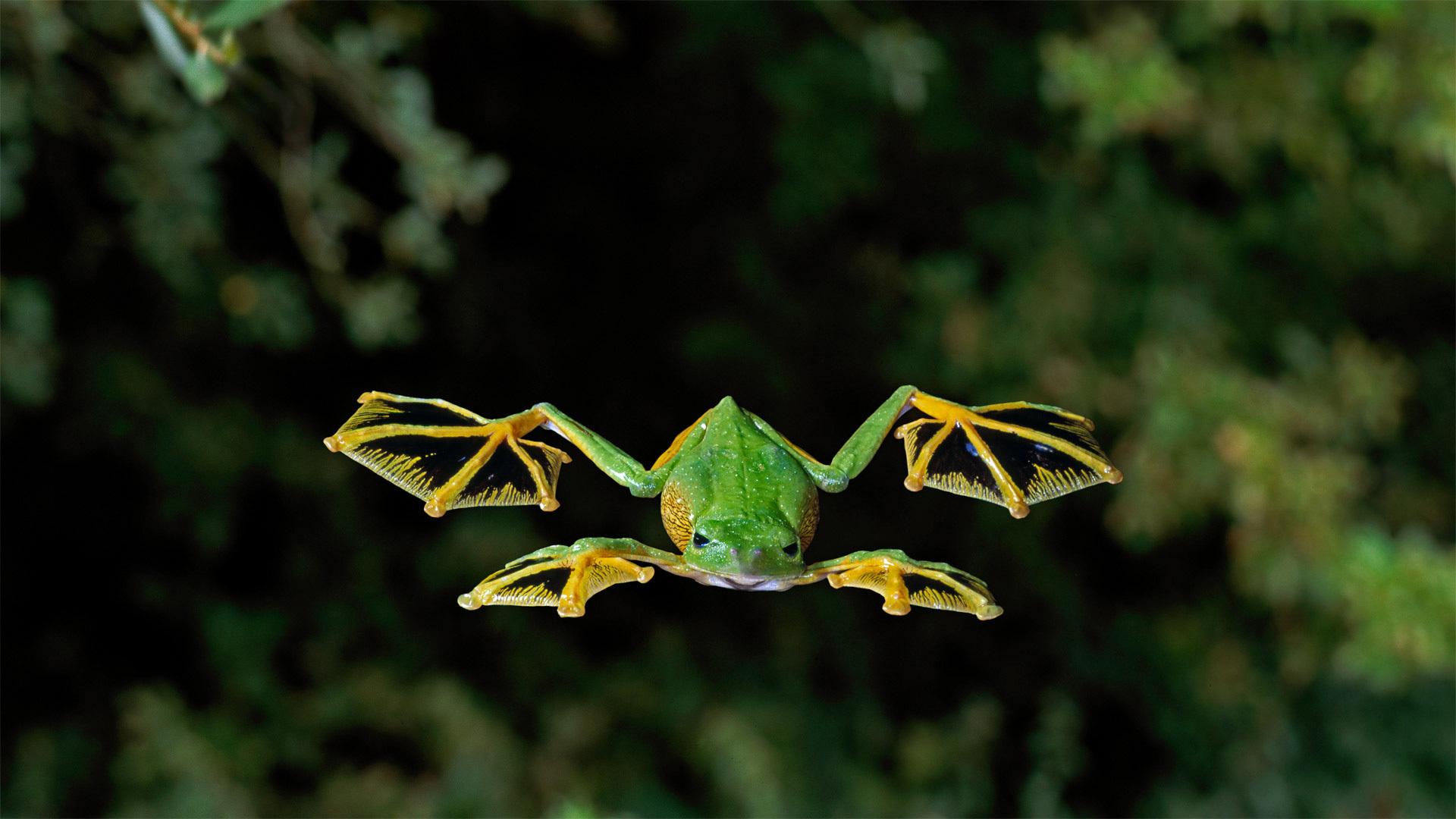 一只华莱士飞蛙掠过森林地面华莱士飞蛙