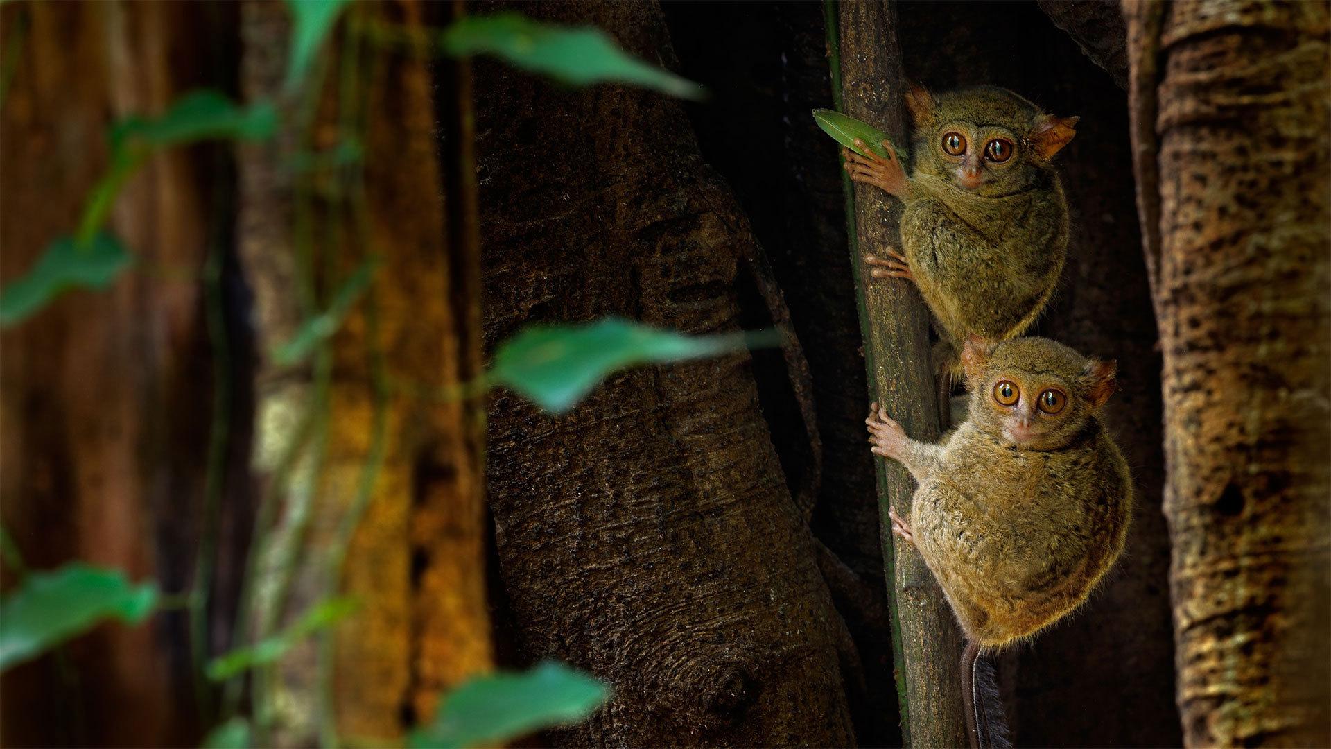 榕树上的幽灵眼镜猴幽灵眼镜猴