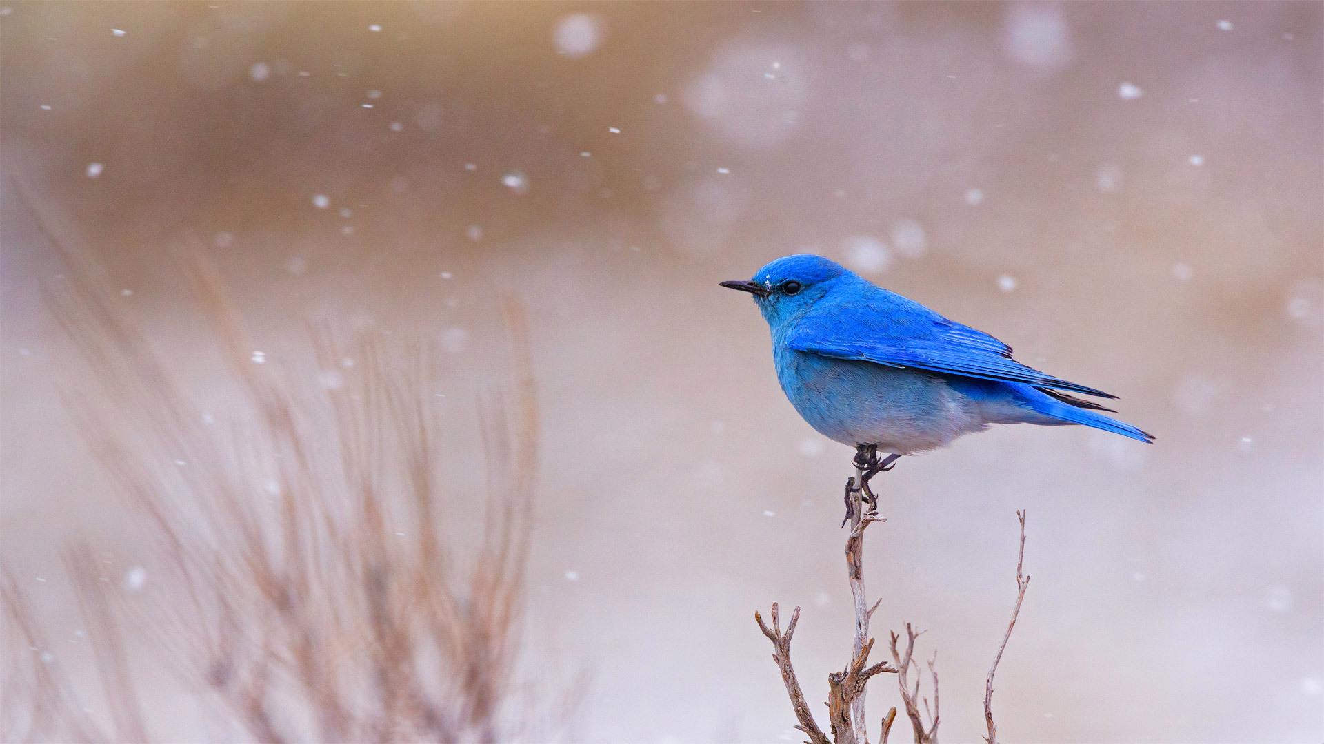 黄石国家公园里的一只雄性山地蓝知更鸟山地蓝知更鸟