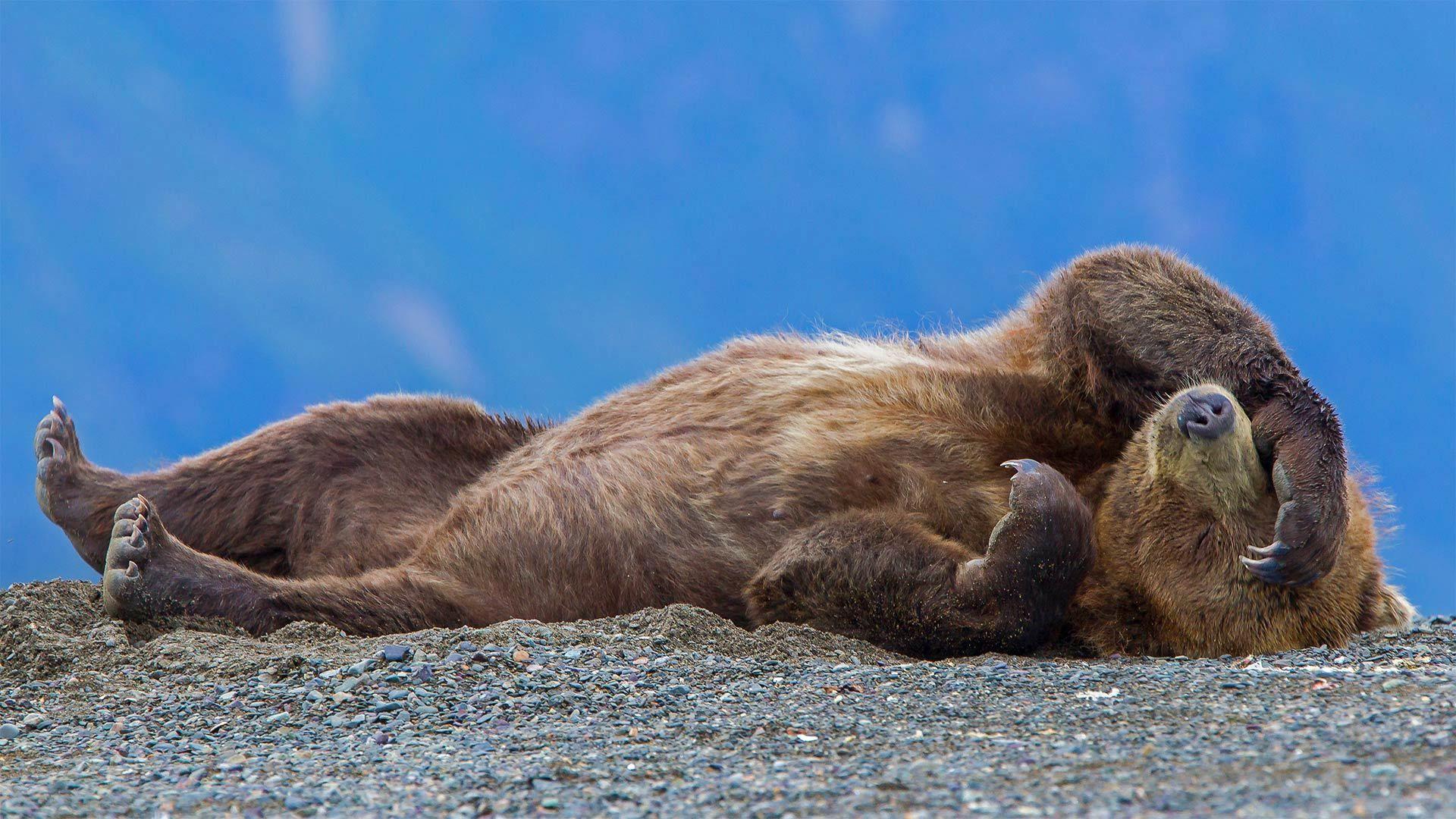 克拉克湖国家公园中一只休憩的灰熊幼崽灰熊