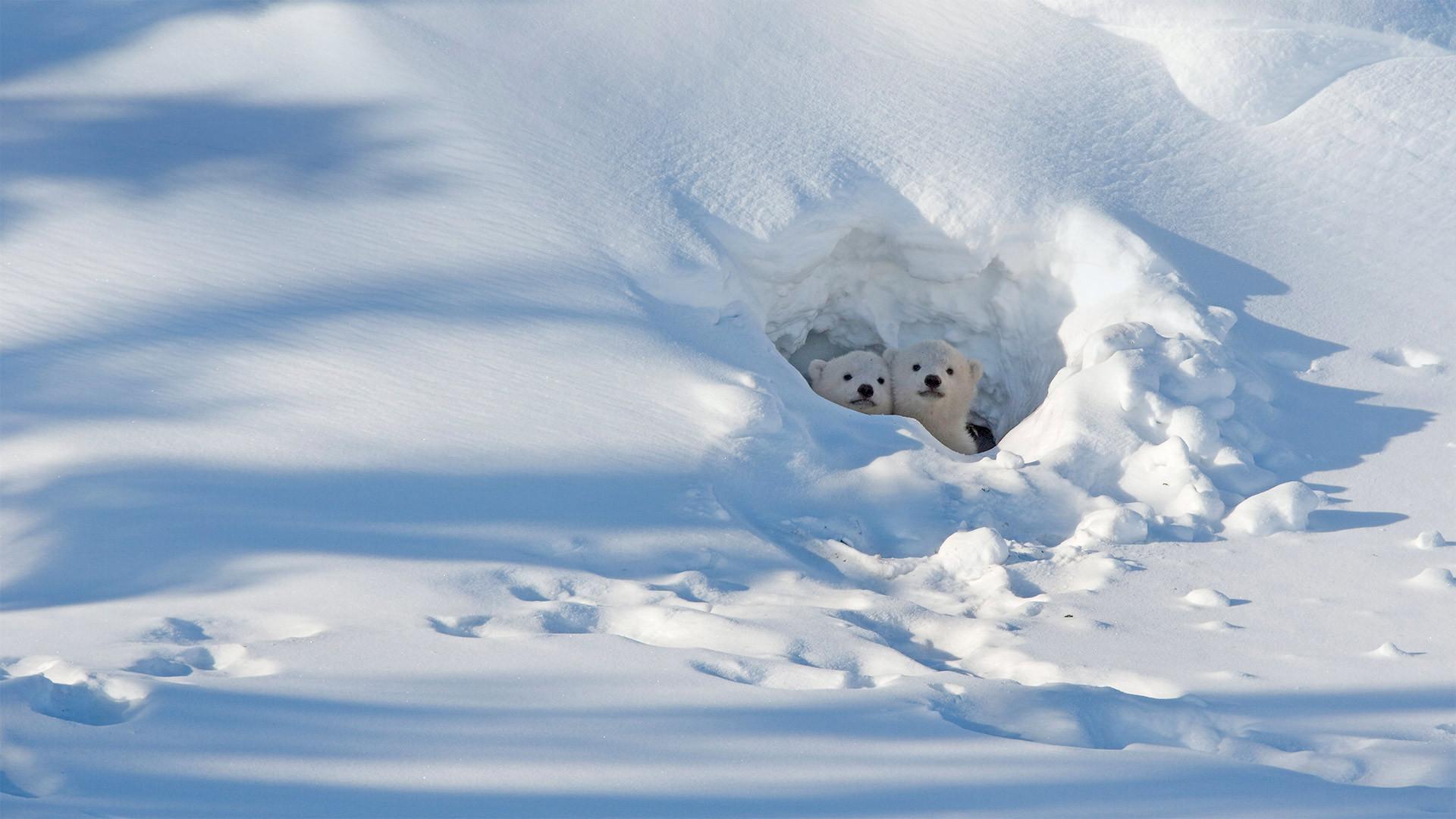 瓦普斯克国家公园内向洞穴外张望的北极熊幼崽北极熊