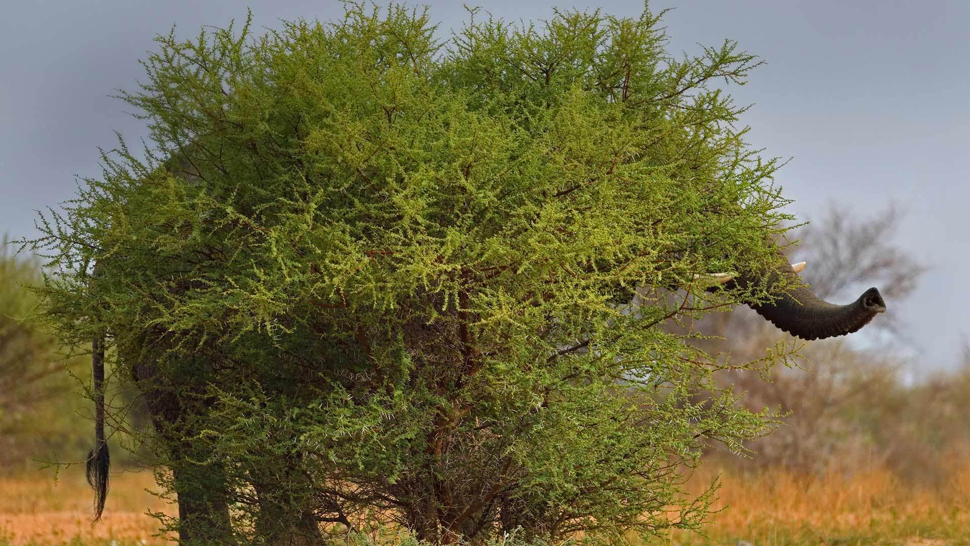马拉克勒国家公园中一只隐身的chia象马拉克勒国家公园