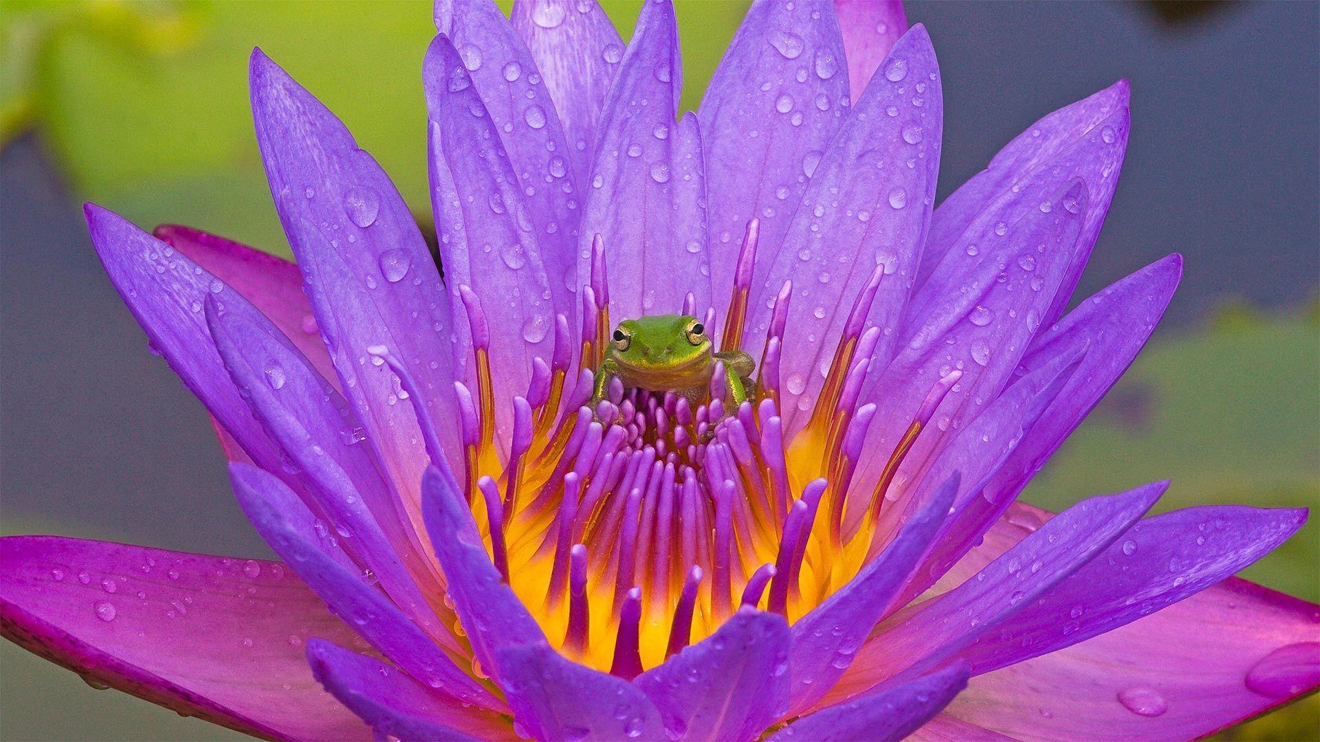 基西米湖中的绿色树蛙和紫色睡莲基西米湖