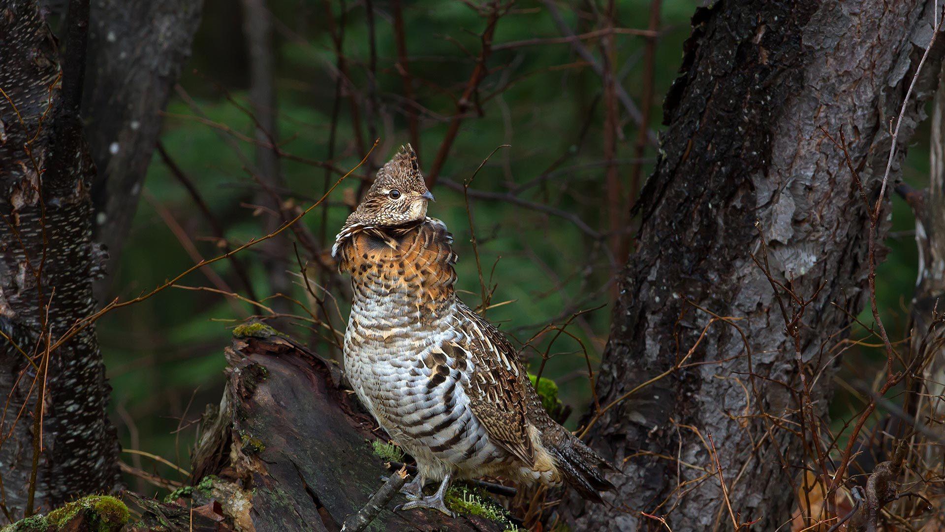 阿尔冈金省立公园中一只正在树枝上休息的披肩鸡披肩鸡