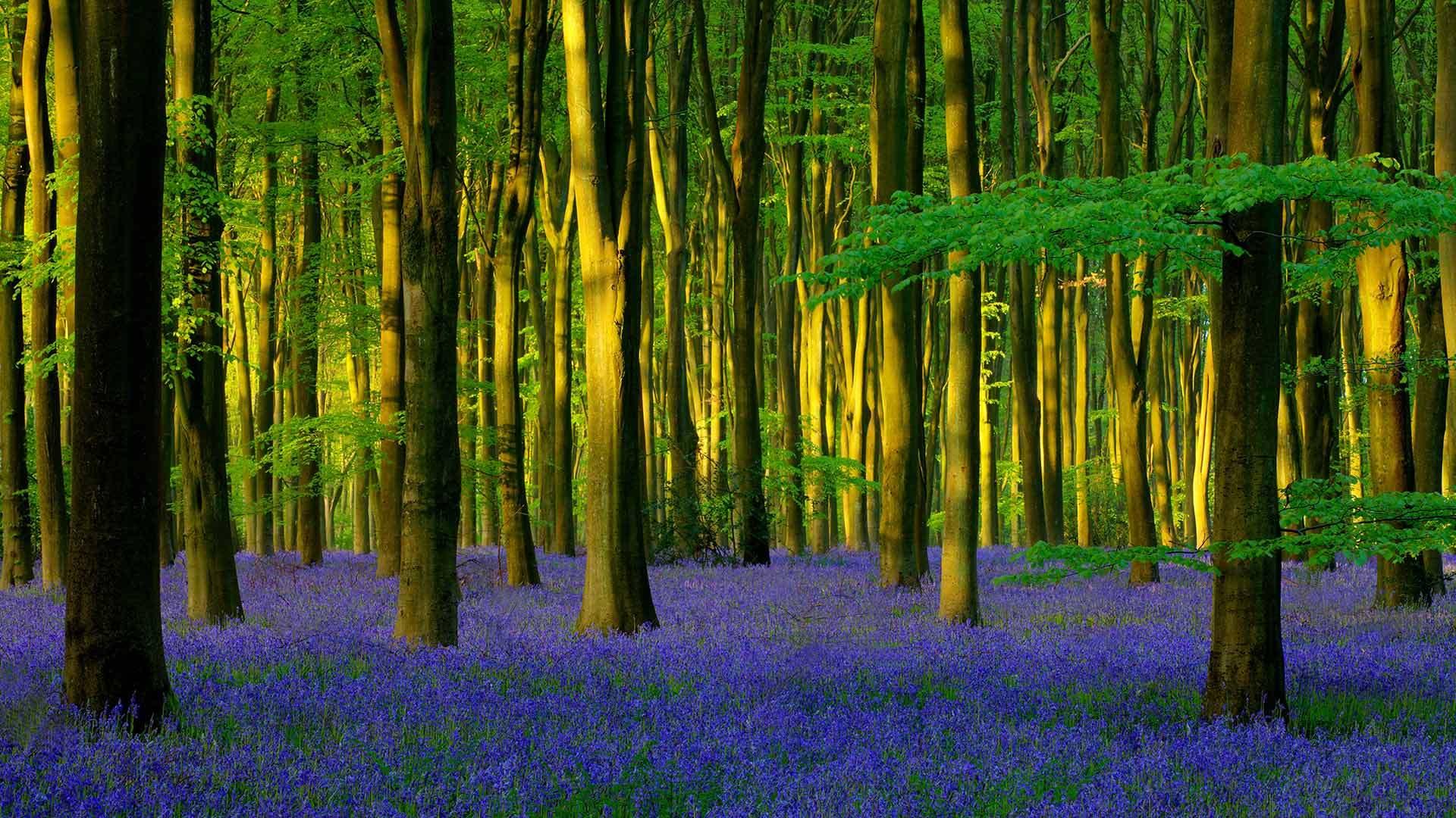 Micheldever Wood的蓝铃花蓝铃花