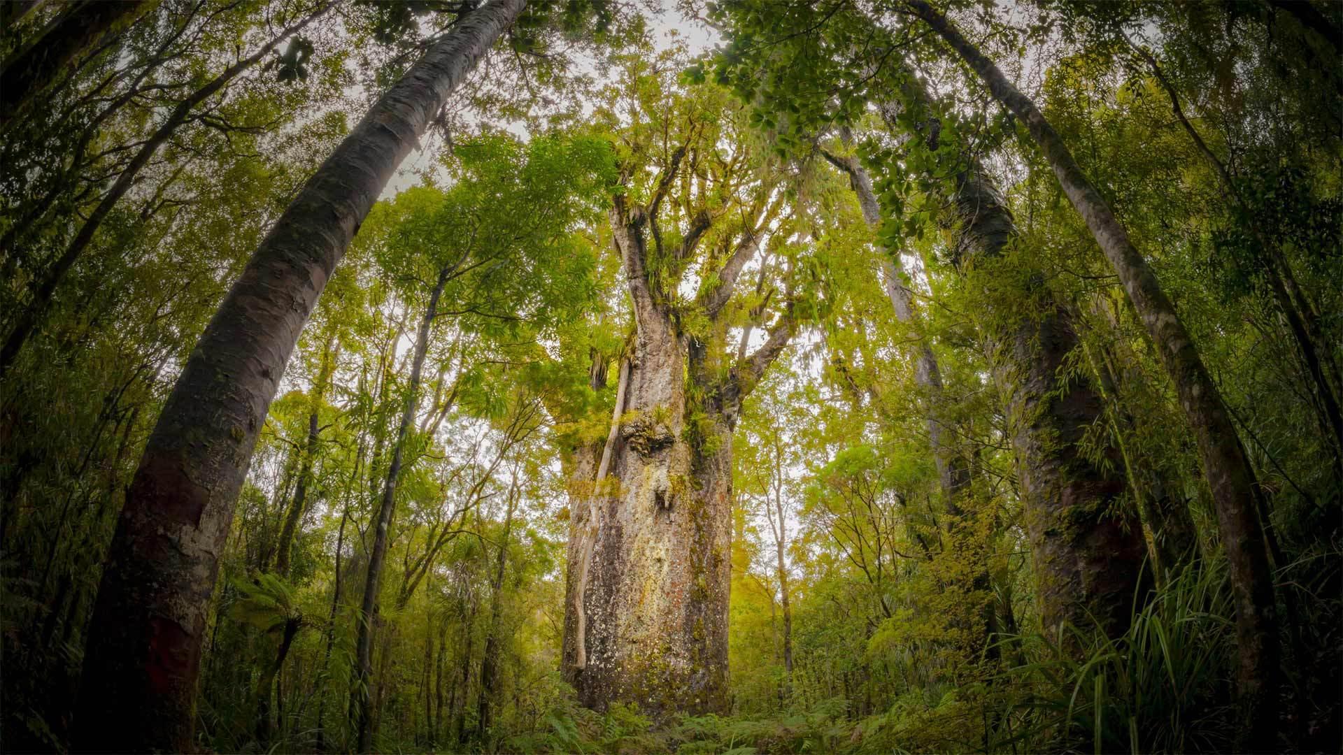 怀波瓦森林中一棵名为Te Matua Ngahere的巨型贝壳杉树怀波瓦森林