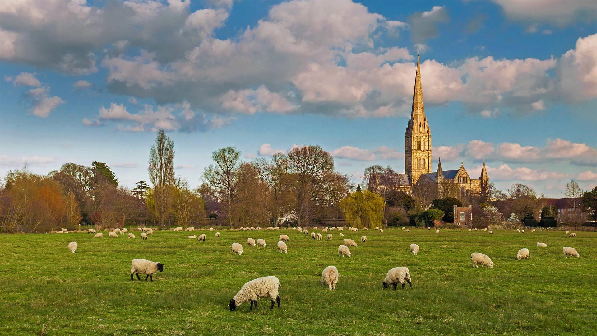 索尔茲伯里大教堂与放牧的羊群索尔茲伯里大教堂