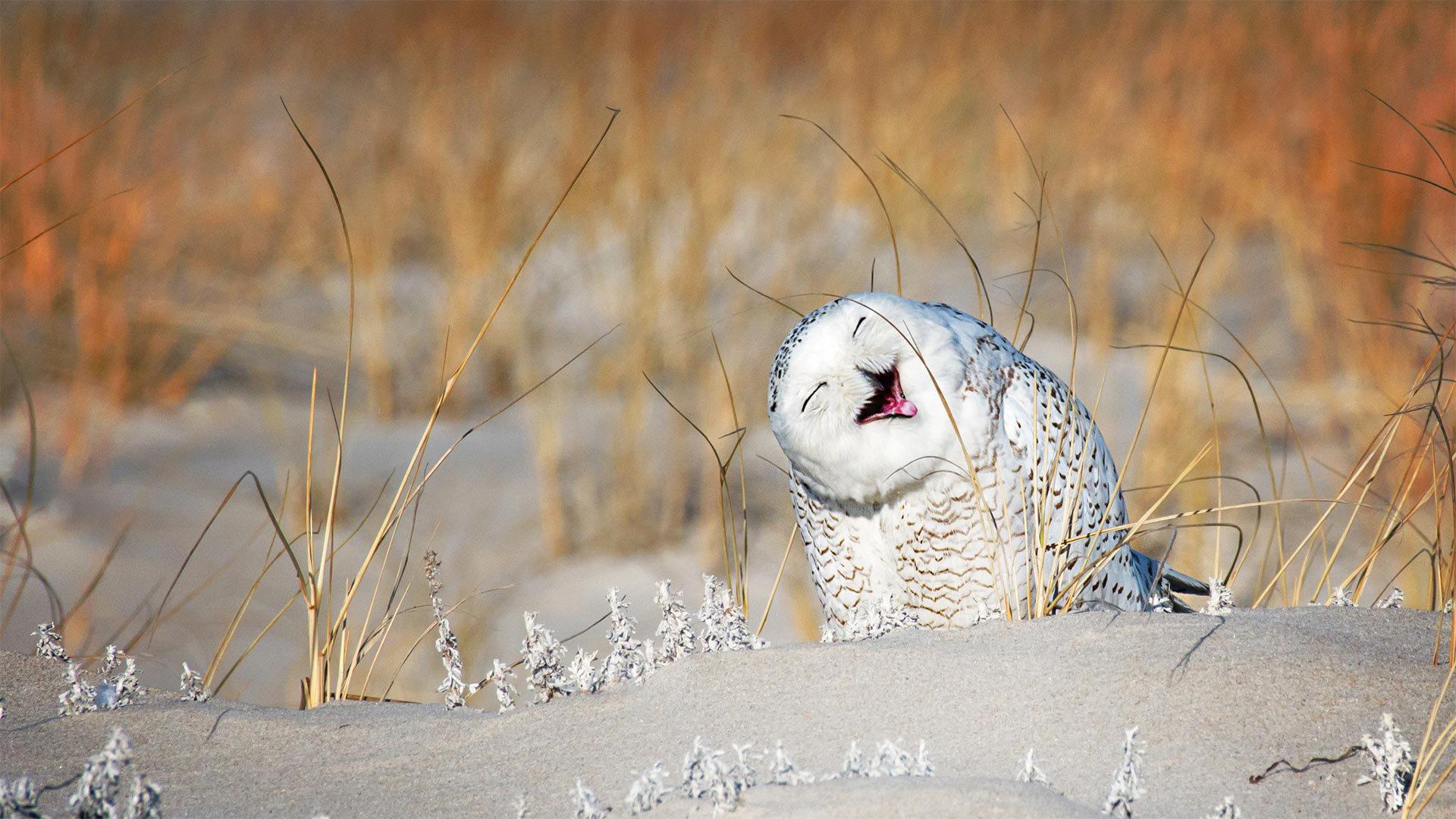 琼斯海滩的雪鸮雪鸮