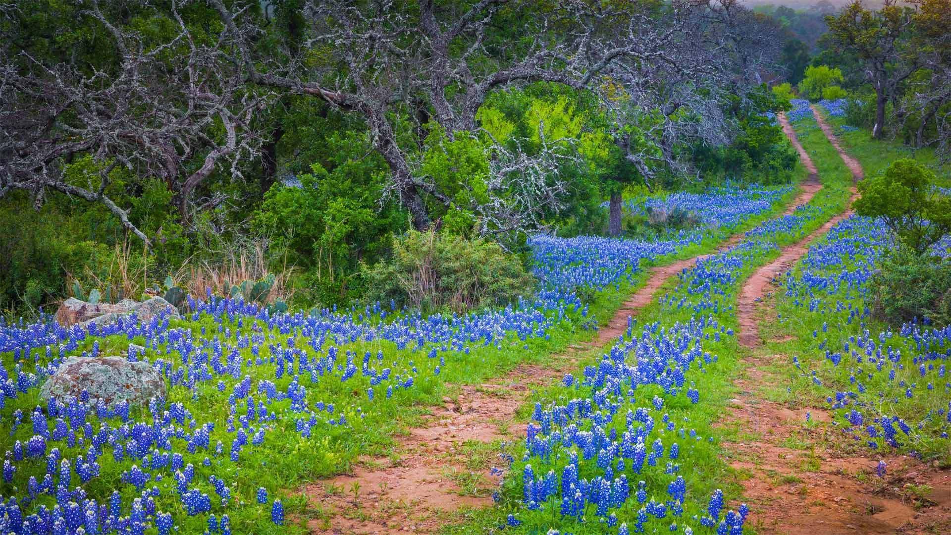 印克斯湖国家公园中的德克萨斯矢车菊矢车菊