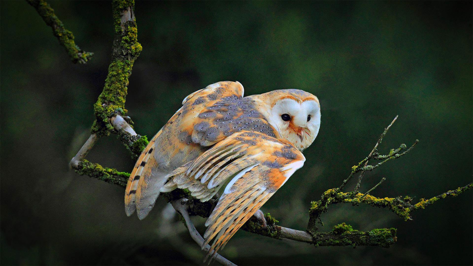 一只停在树枝上的仓鸮仓鸮