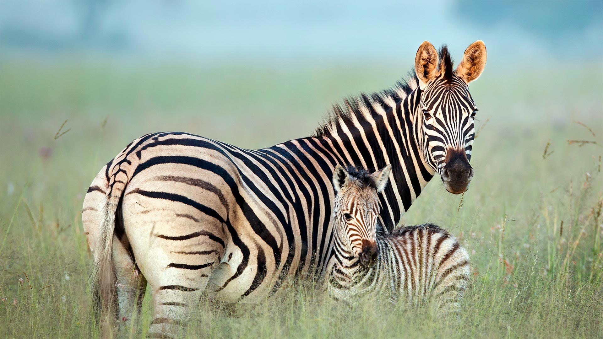 Rietvlei自然保护区内的布氏斑马母子布氏斑马