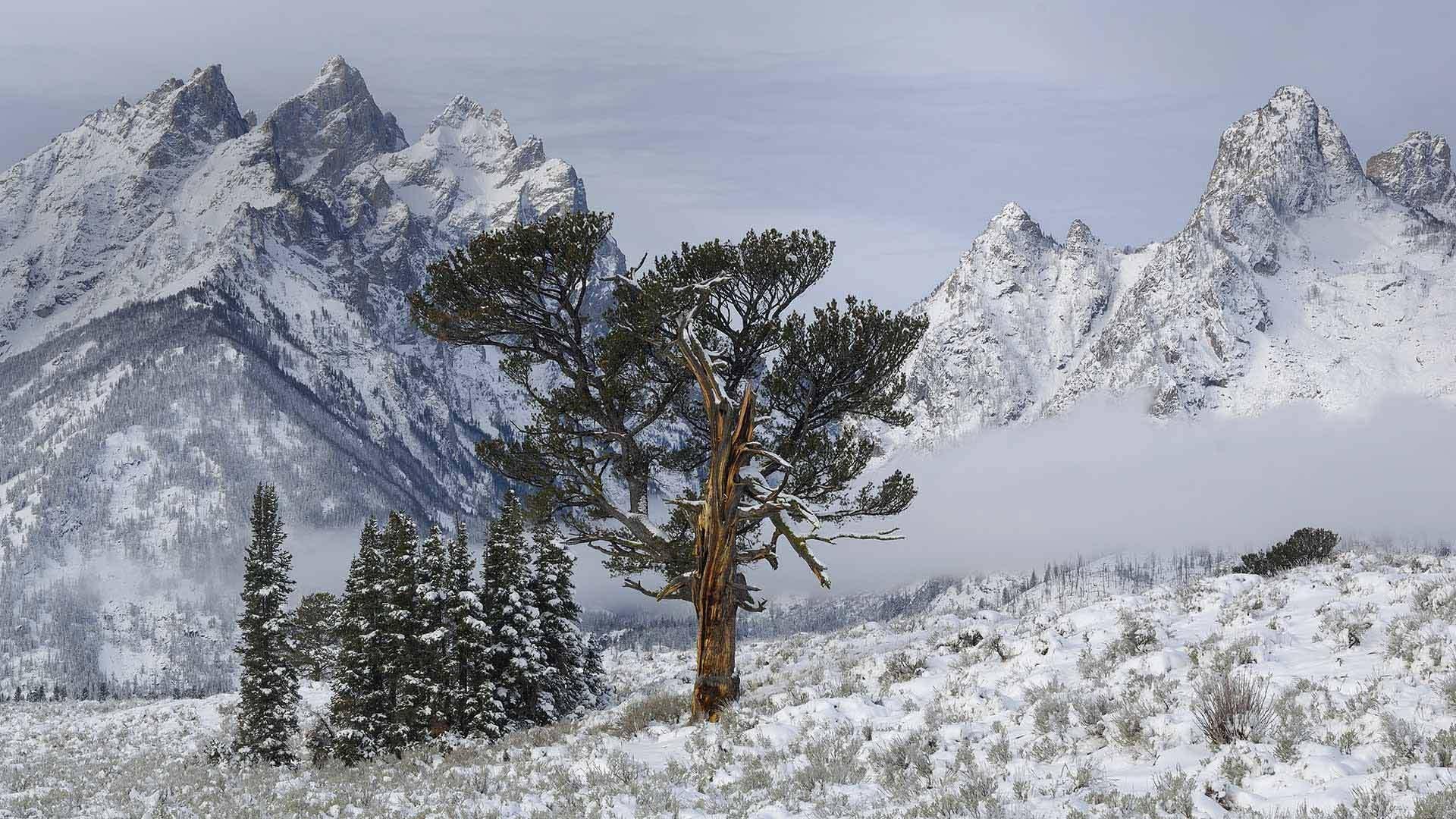 大提顿国家公园中的Old Patriarch Tree大提顿国家公园
