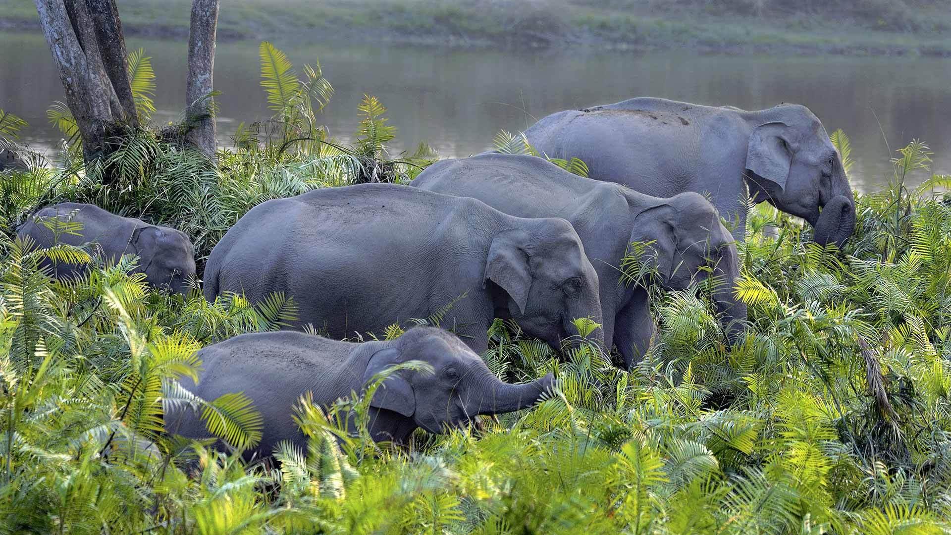 卡齐兰加国家公园的亚洲象群亚洲象