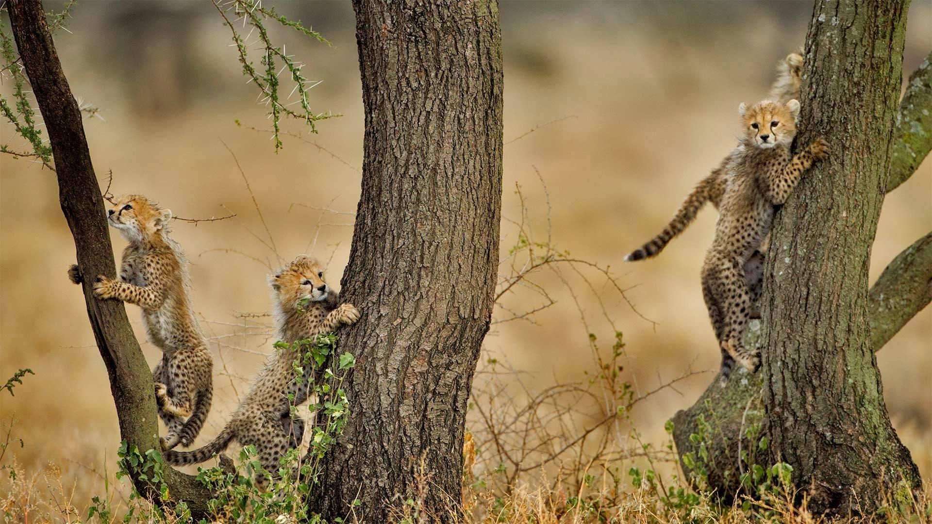 正在爬相思树的猎豹幼崽们恩戈罗恩戈罗保护区