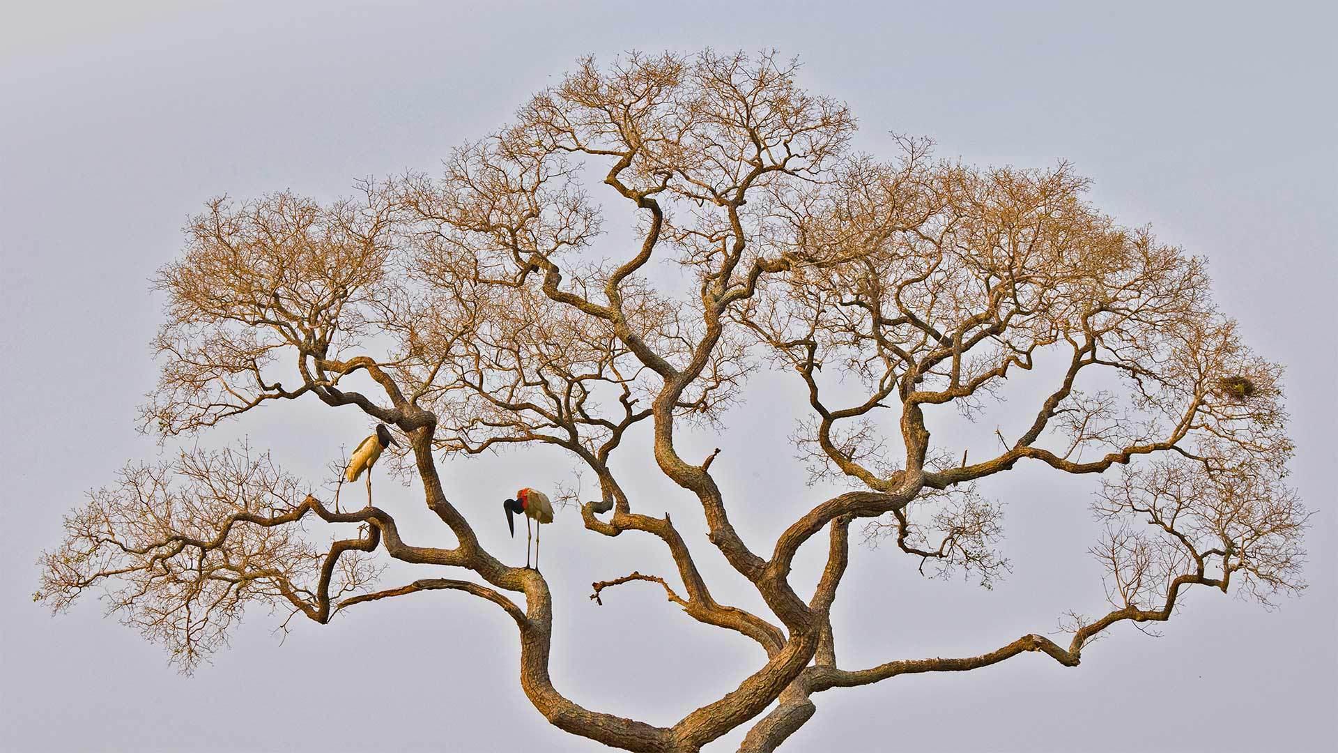 潘塔纳尔湿地中的裸颈鹳裸颈鹳