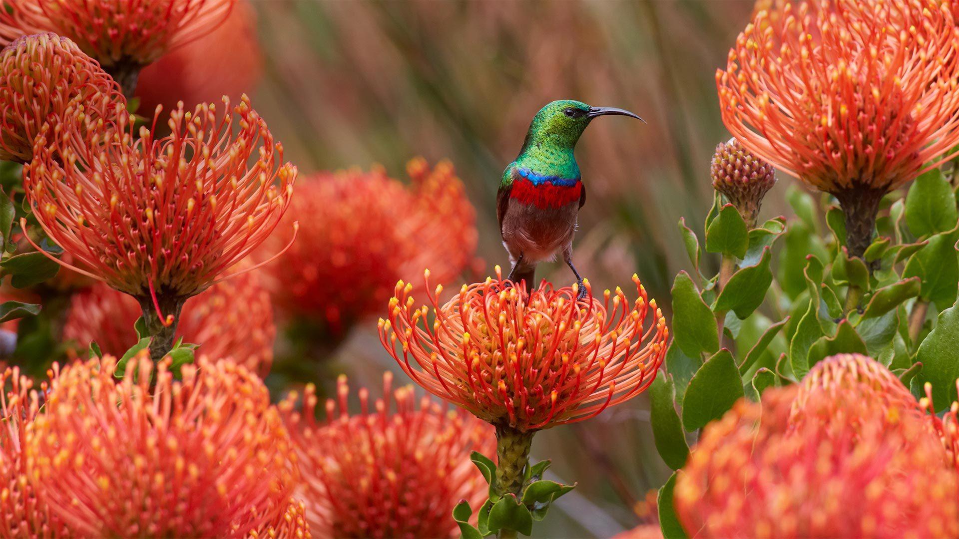 伯斯国家植物园针垫花上的一只雄性南方双领太阳鸟太阳鸟