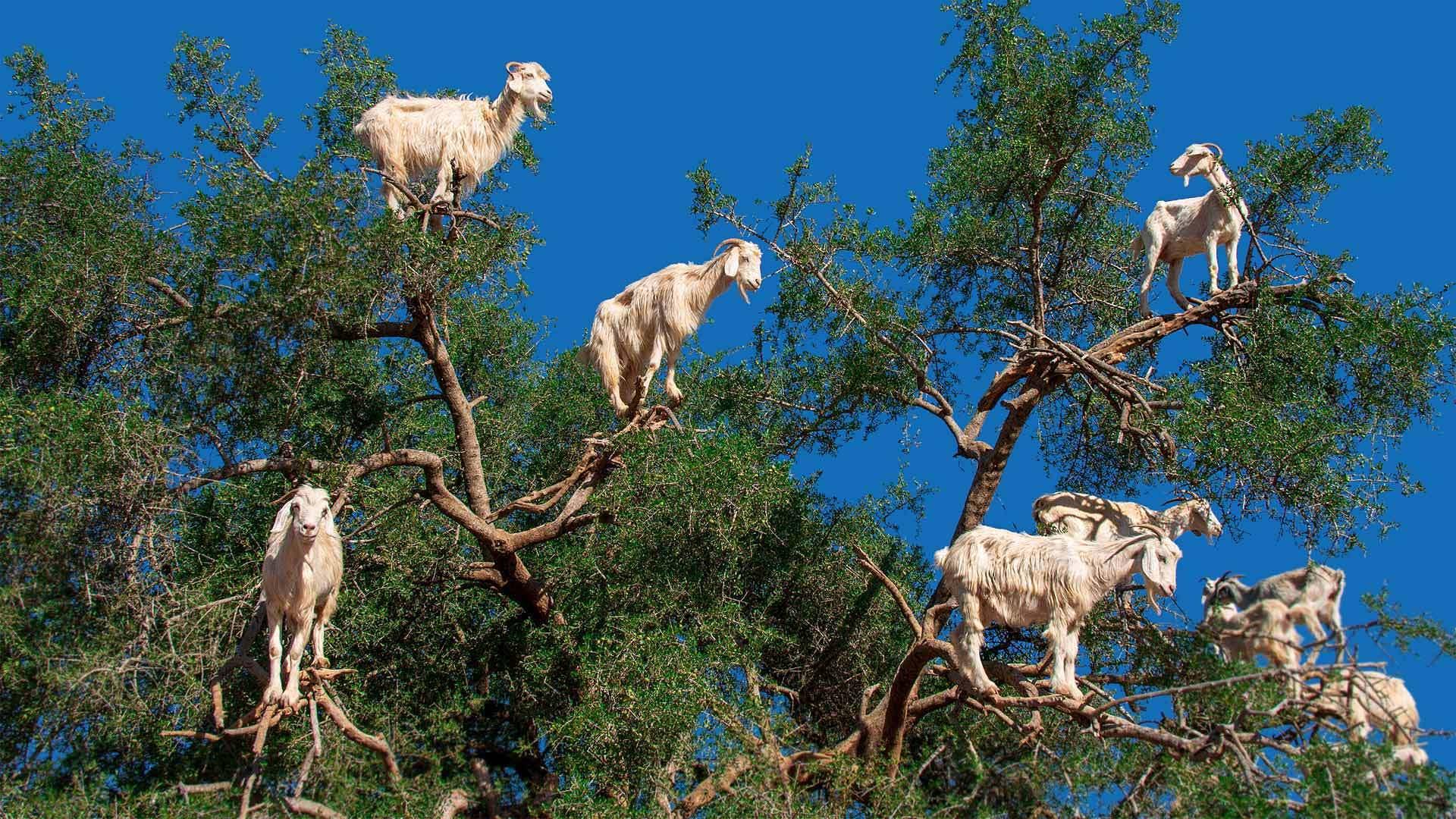 索维拉附近摩洛哥坚果树上的山羊索维拉