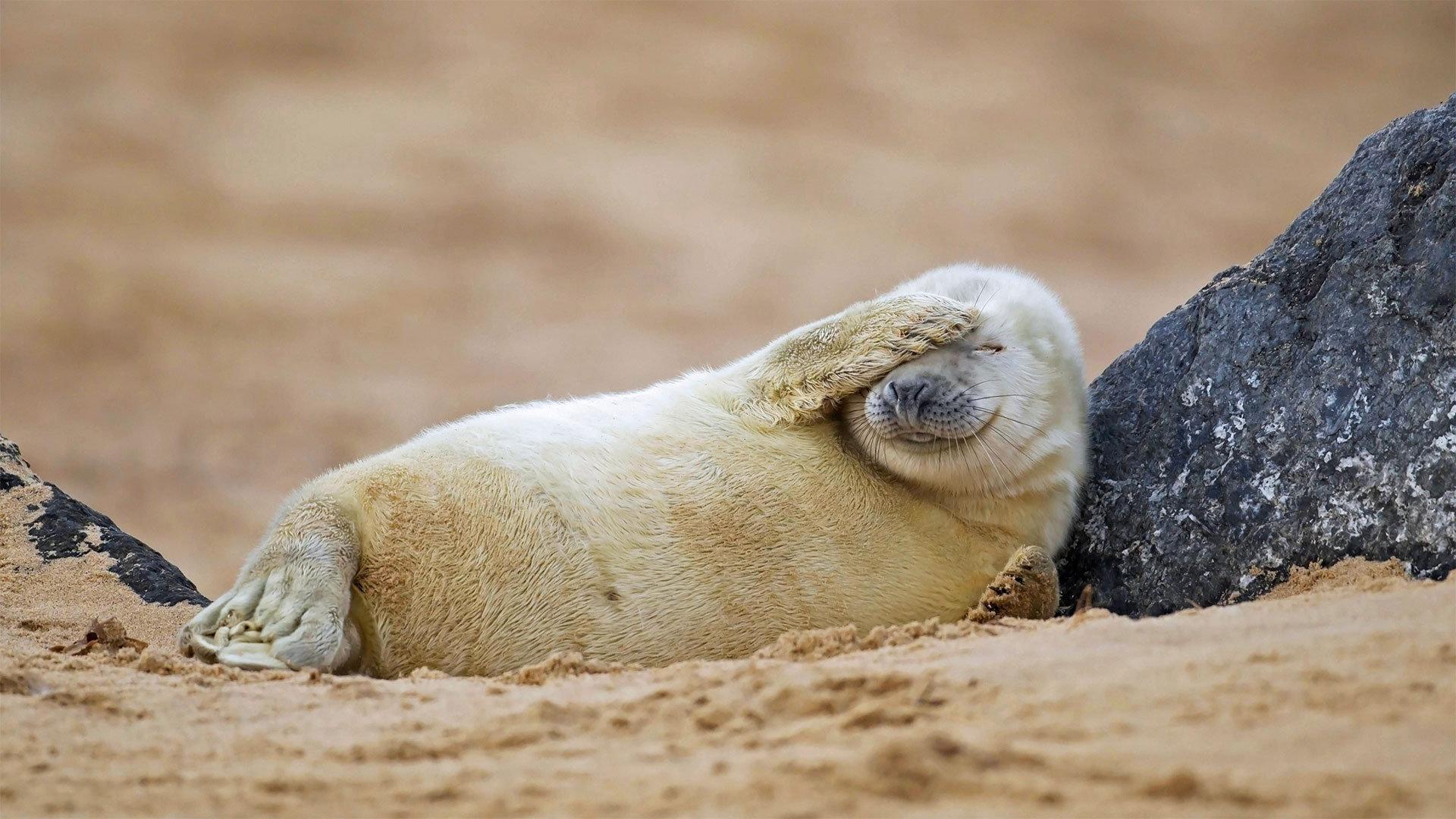 在沙滩上休息的灰海豹幼崽灰海豹