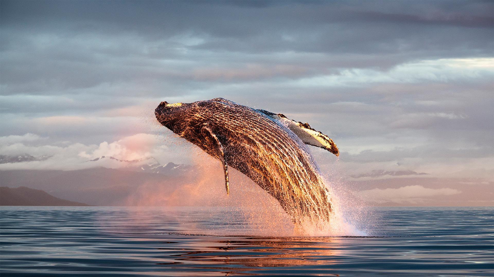 北太平洋弗雷德里克海峡中的座头鲸冲出海面座头鲸