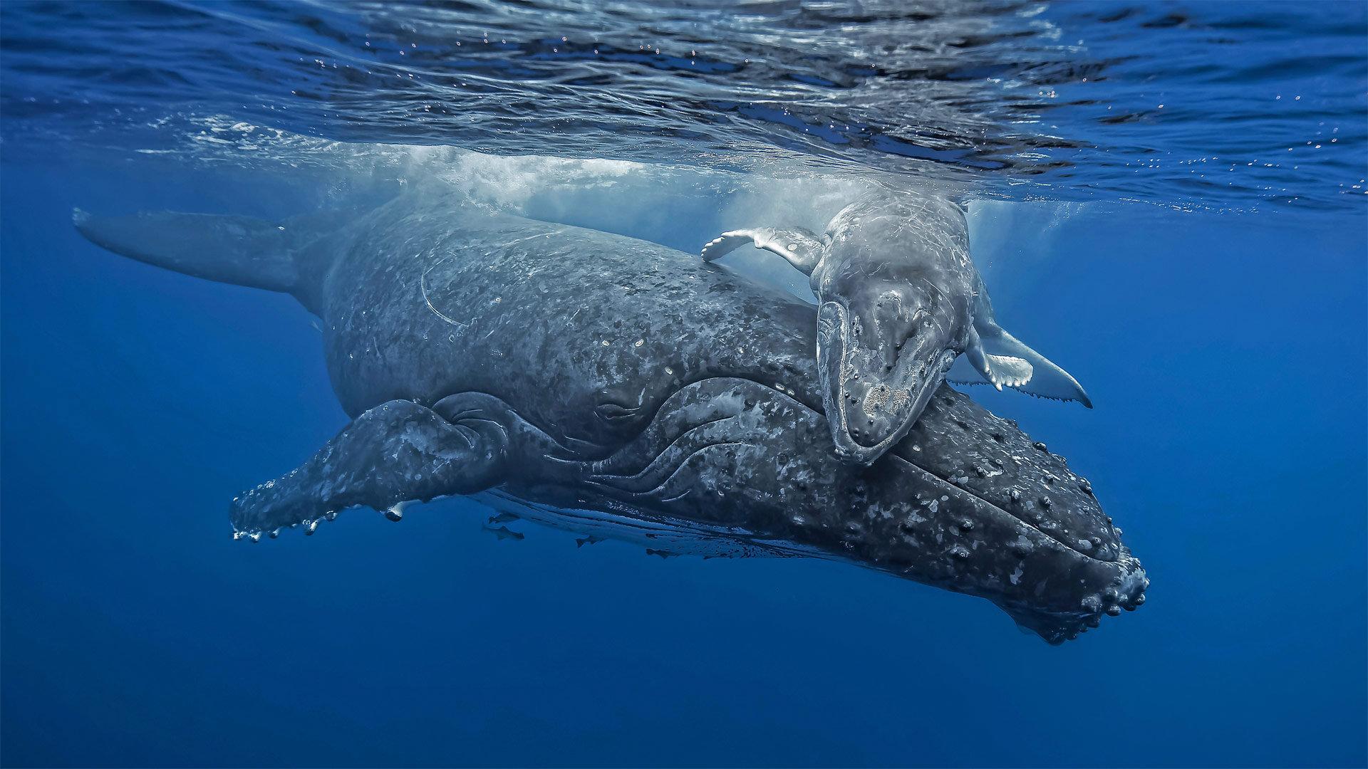 汤加海岸正要拥抱妈妈的小座头鲸座头鲸