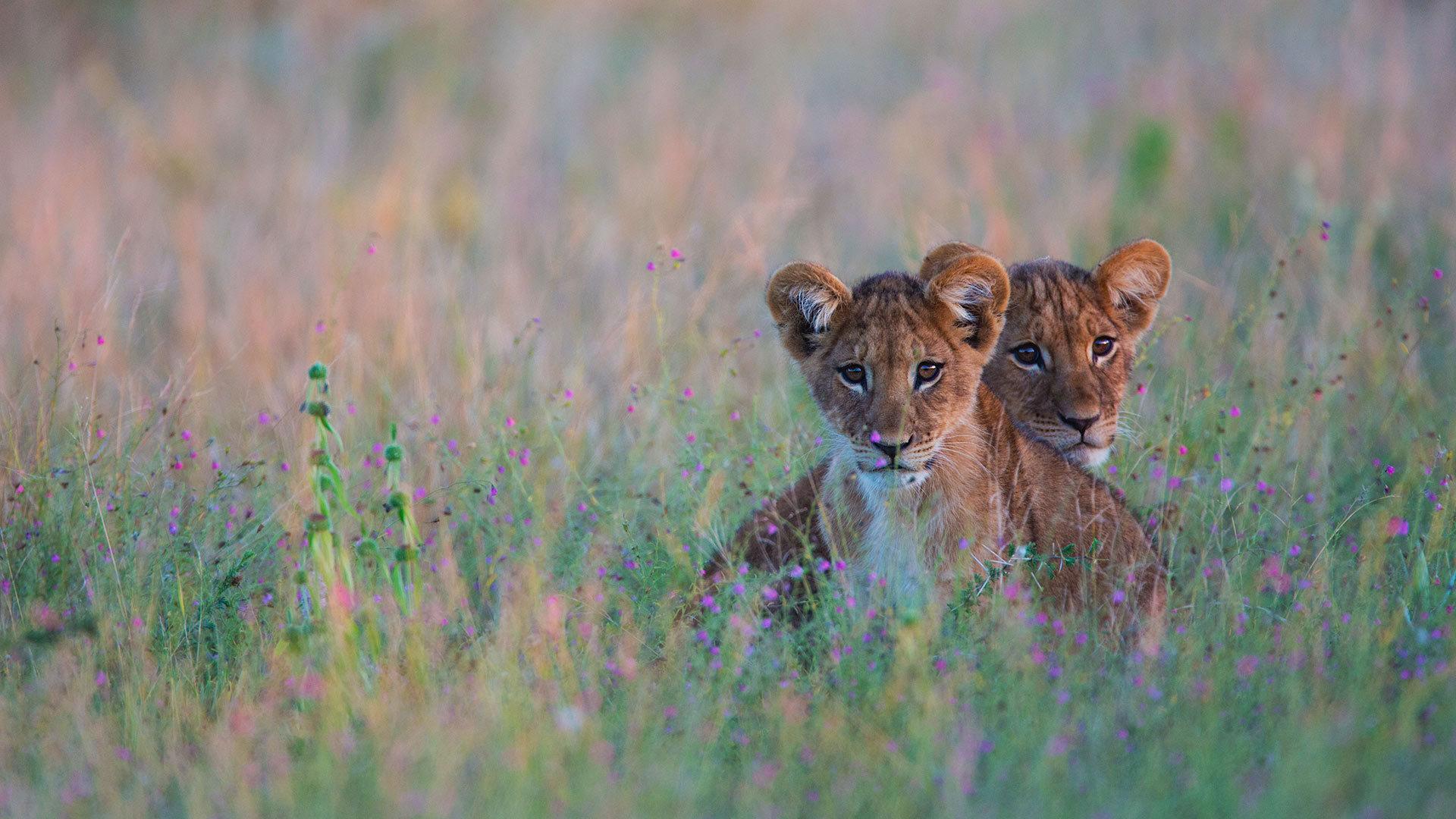 藏在高高的草丛中的狮子幼崽狮子