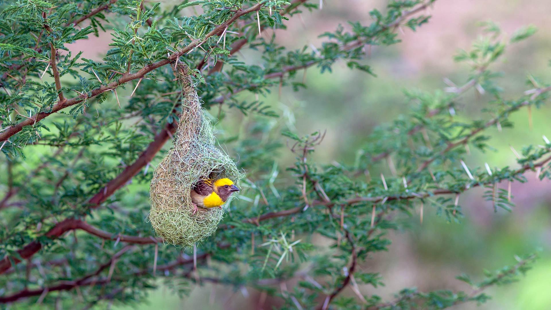 浦那的黄胸织布鸟鸟巢黄胸织布鸟