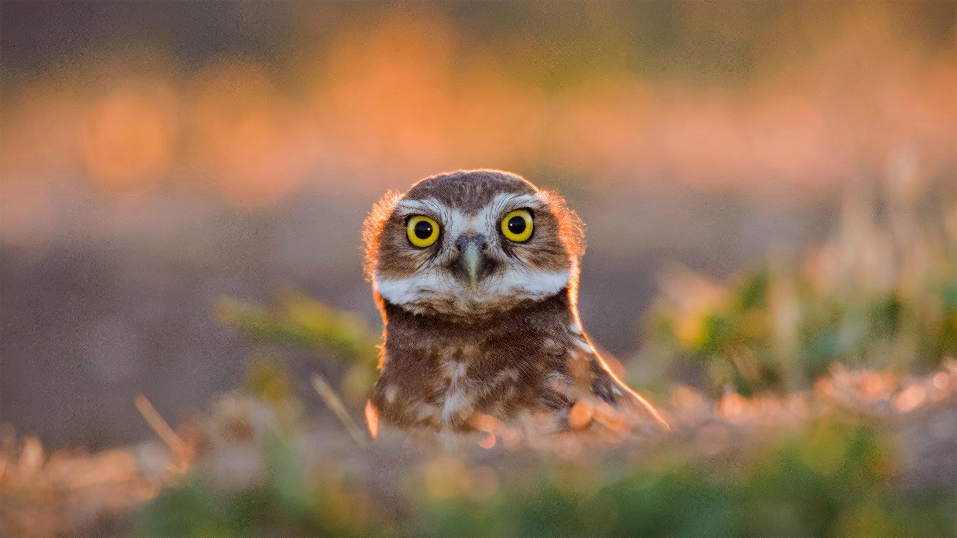 一只成年的穴居猫头鹰在日落时从洞穴中钻出来猫头鹰