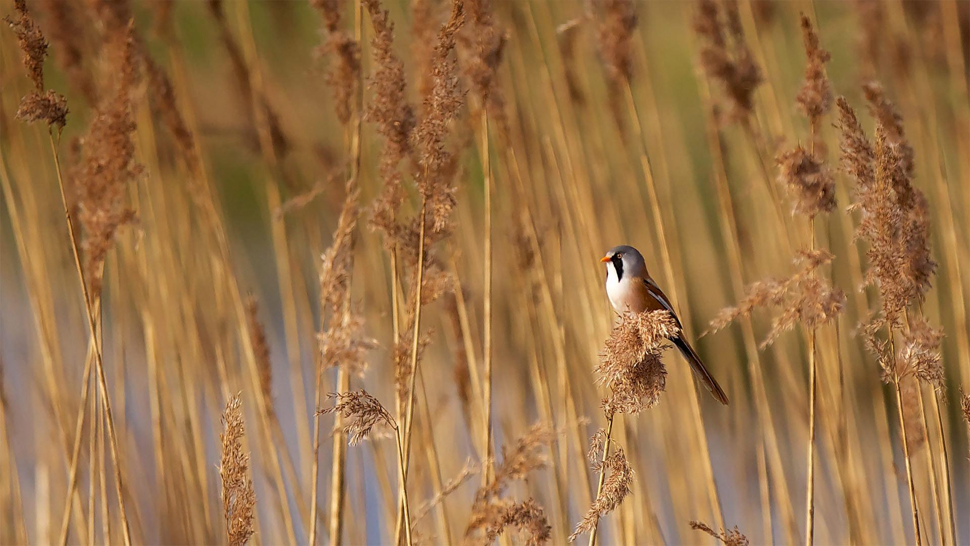 埃尔姆利国家自然保护区里的一只文须雀文须雀