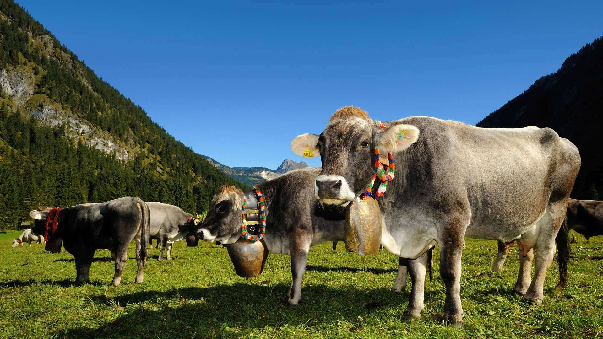 为牛下山节(即把牛从高山牧场赶回)装饰的牛奥地利坦海姆塔尔