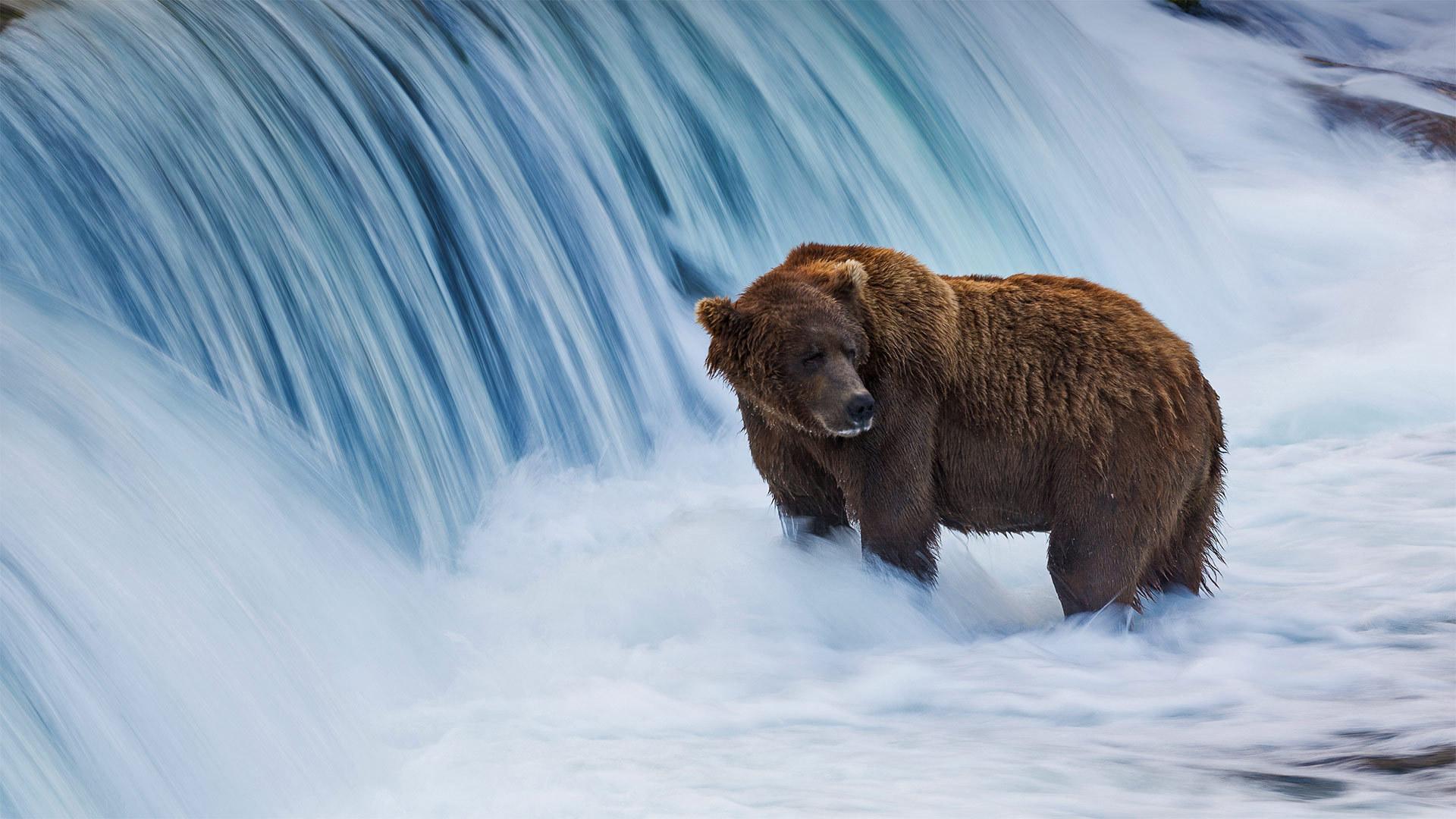 布鲁克斯河中的棕熊布鲁克斯河