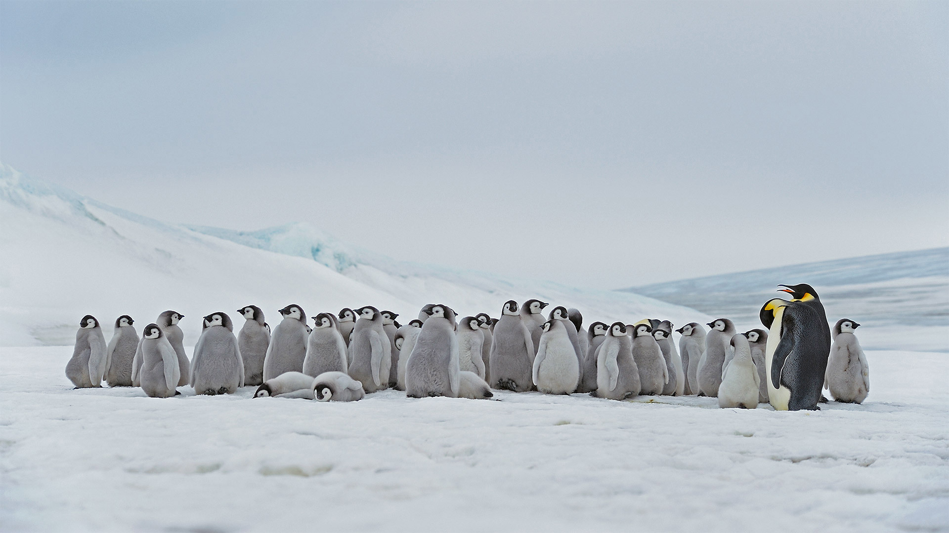栖息在斯诺希尔岛的成年帝企鹅和幼崽斯诺希尔岛