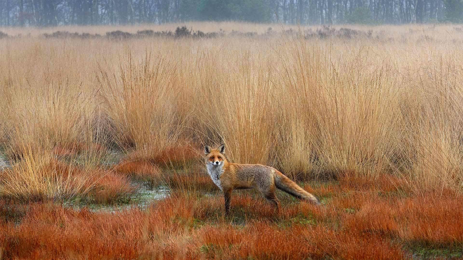 赤狐,荷兰赤狐赤狐
