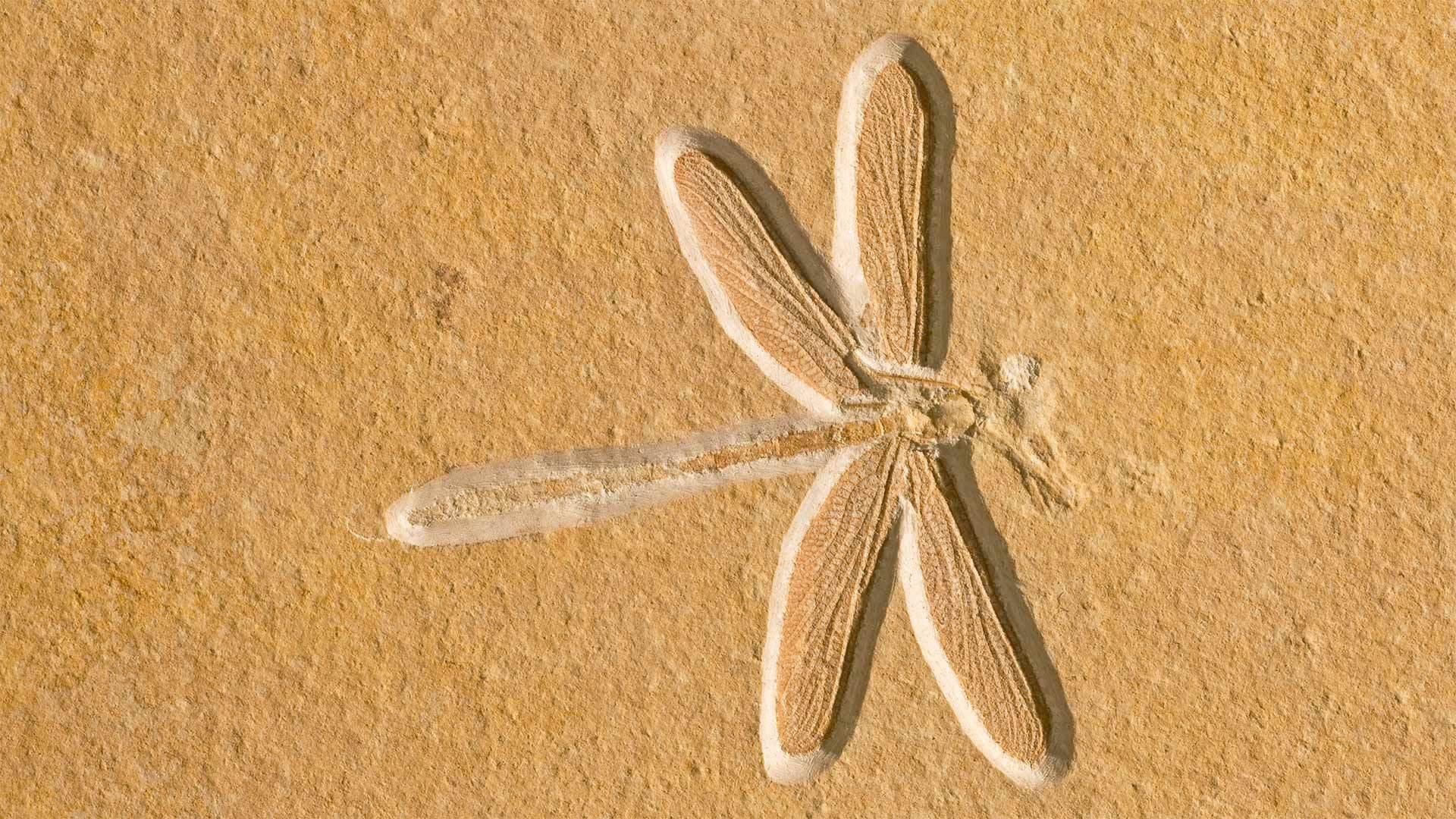 位于索尔恩霍芬的约1.5亿年前的蜻蜓化石蜻蜓化石