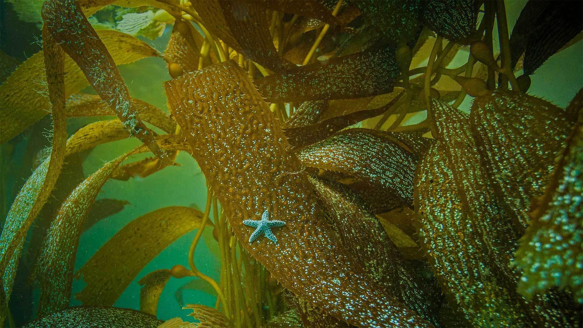 在加州海岸海藻上的赭色海星 海星