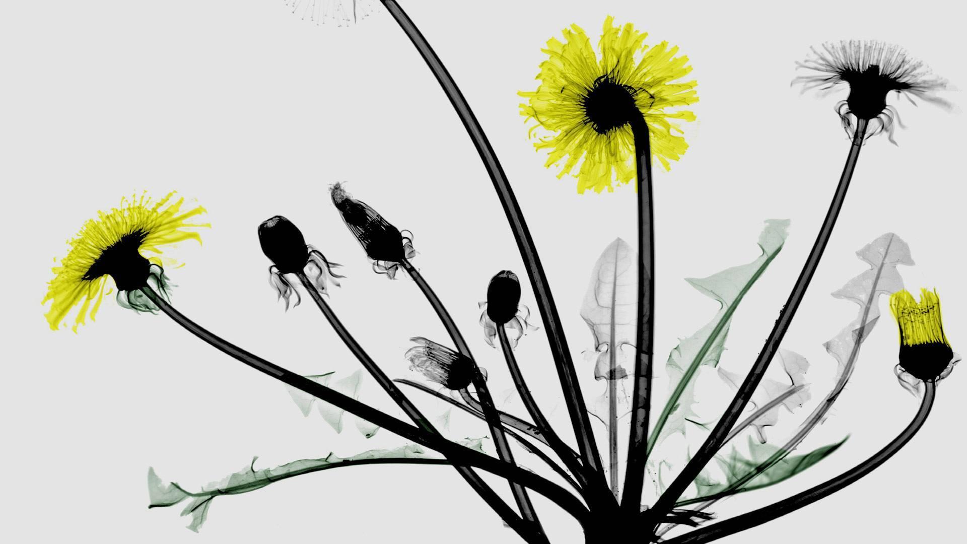 无法停留的爱,蒲公英花的彩色X射线