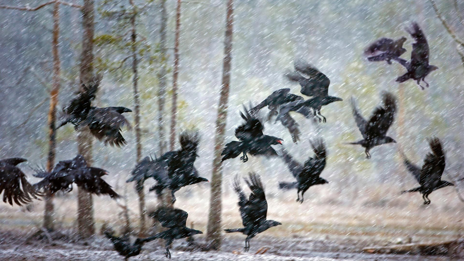 库赫莫附近暴风雪中的乌鸦库赫莫