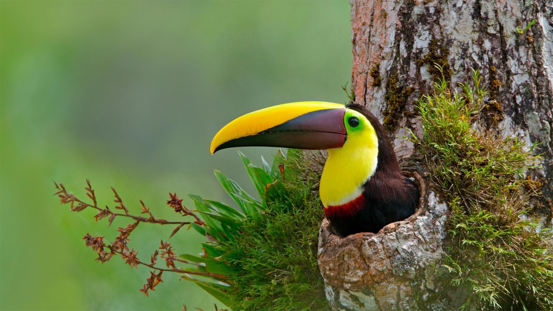 巢穴中的栗嘴巨嘴鸟栗嘴巨嘴鸟