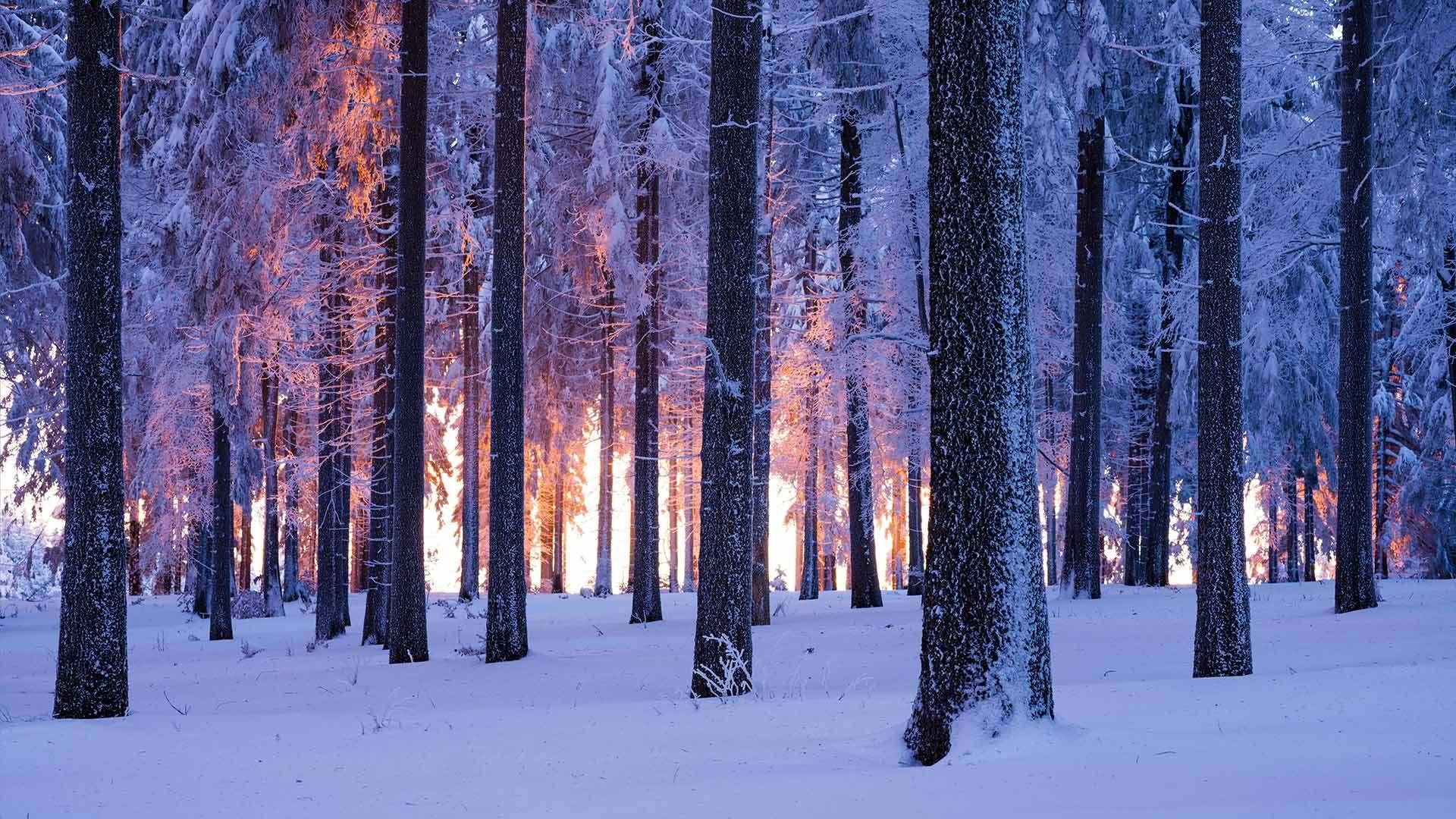 日落时分被雪覆盖的挪威云杉林云杉林