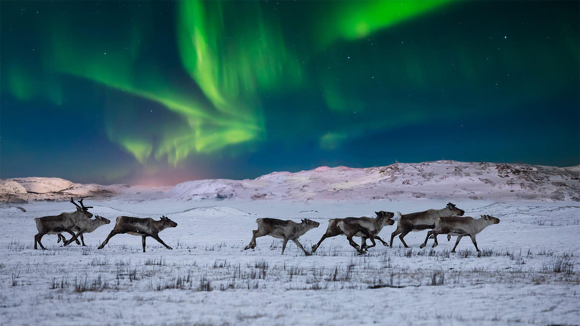 挪威苔原上的北极光和野生驯鹿 挪威苔原